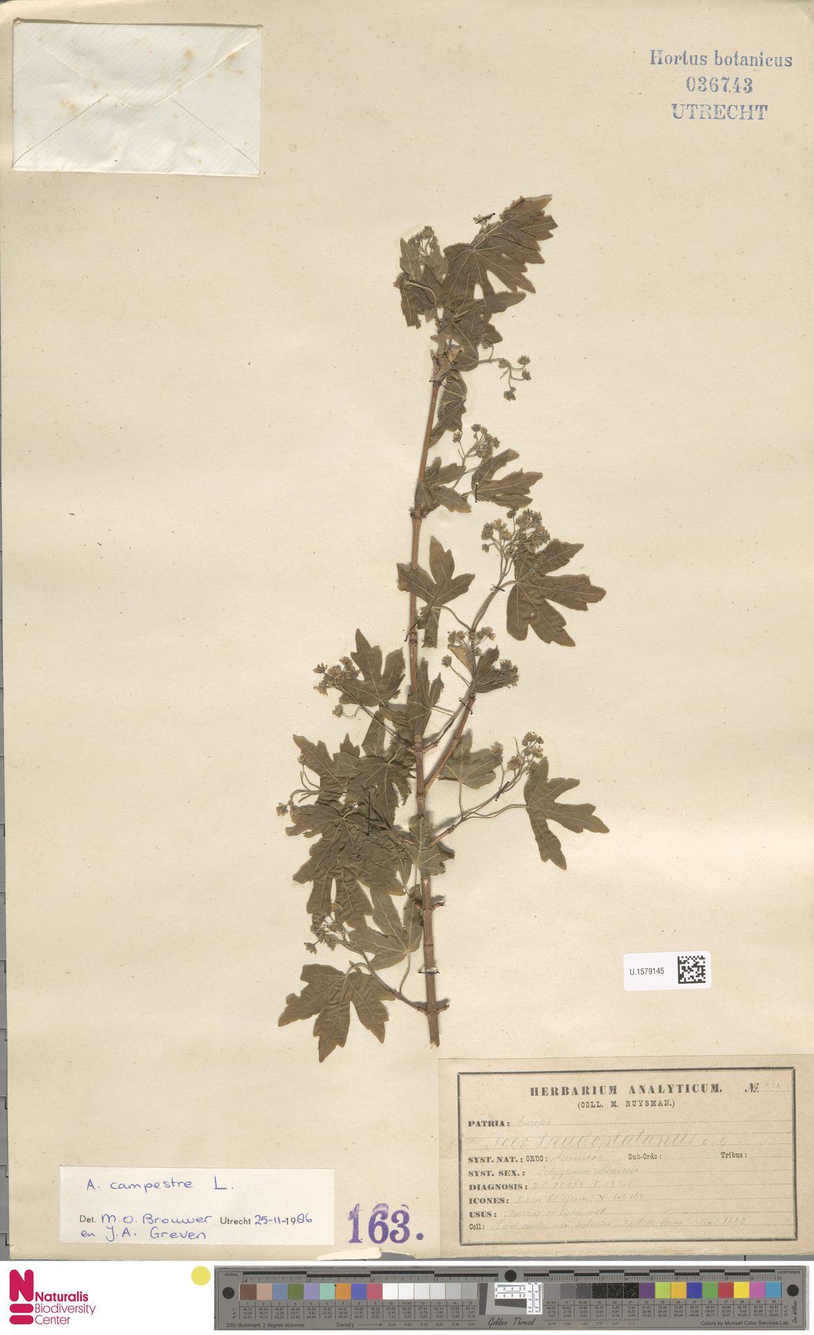 U.1579145   Acer campestre L.