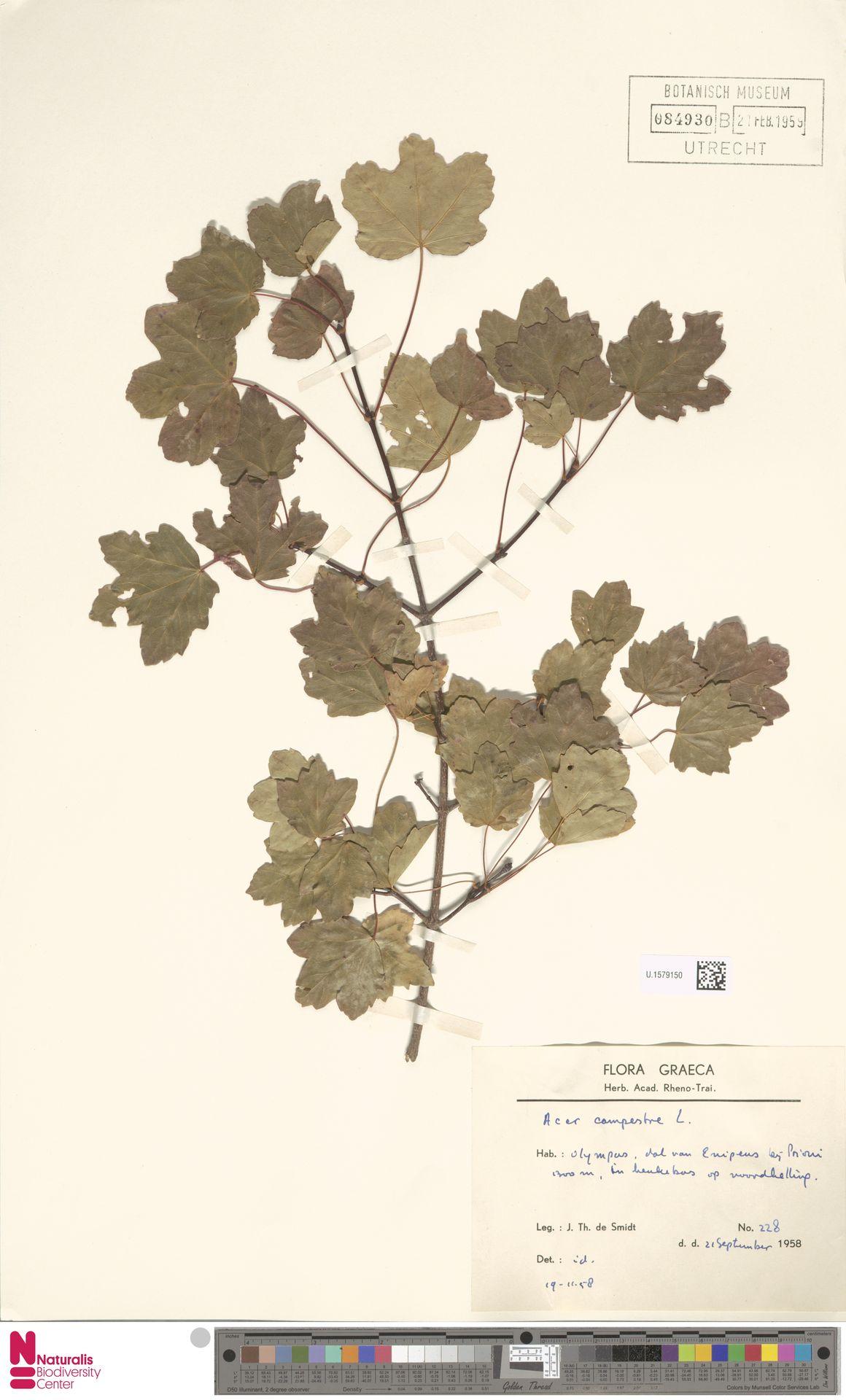 U.1579150 | Acer campestre L.