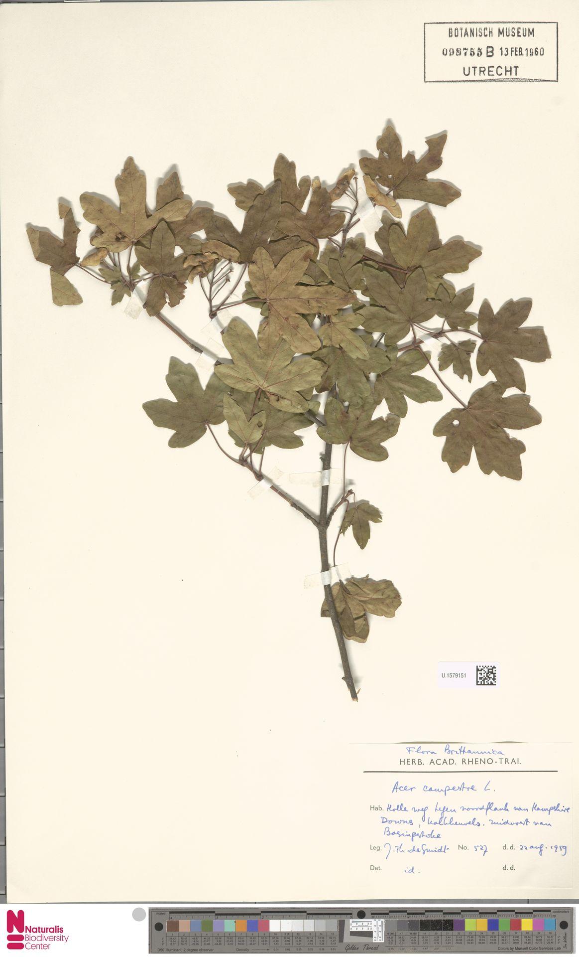 U.1579151   Acer campestre L.