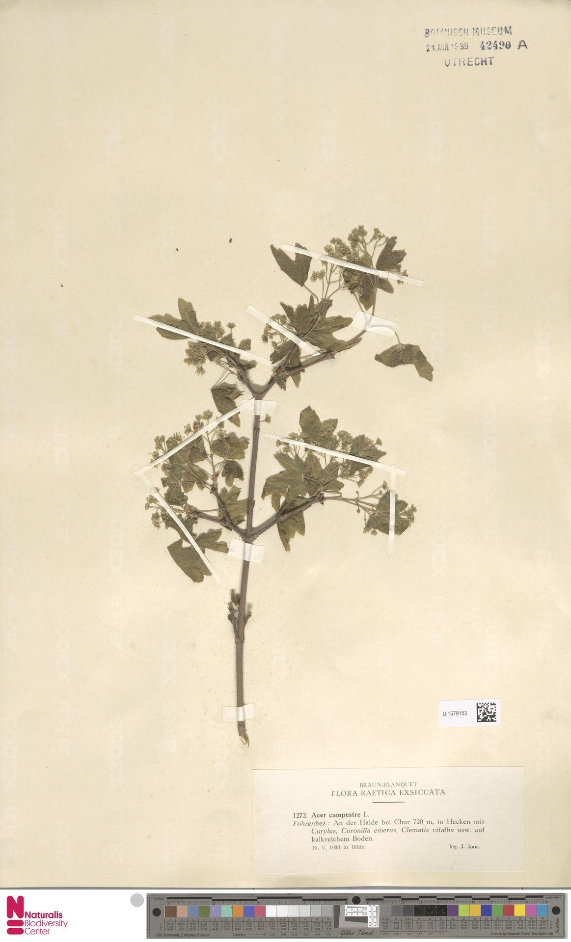 U.1579153   Acer campestre L.