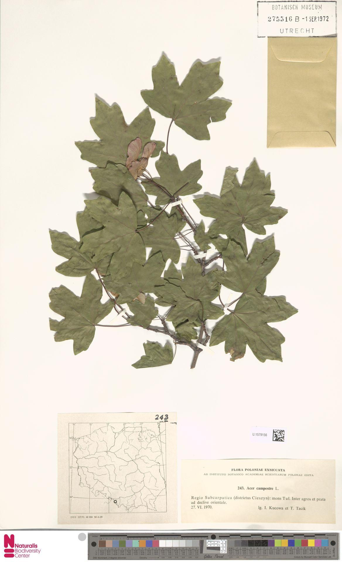 U.1579156 | Acer campestre L.