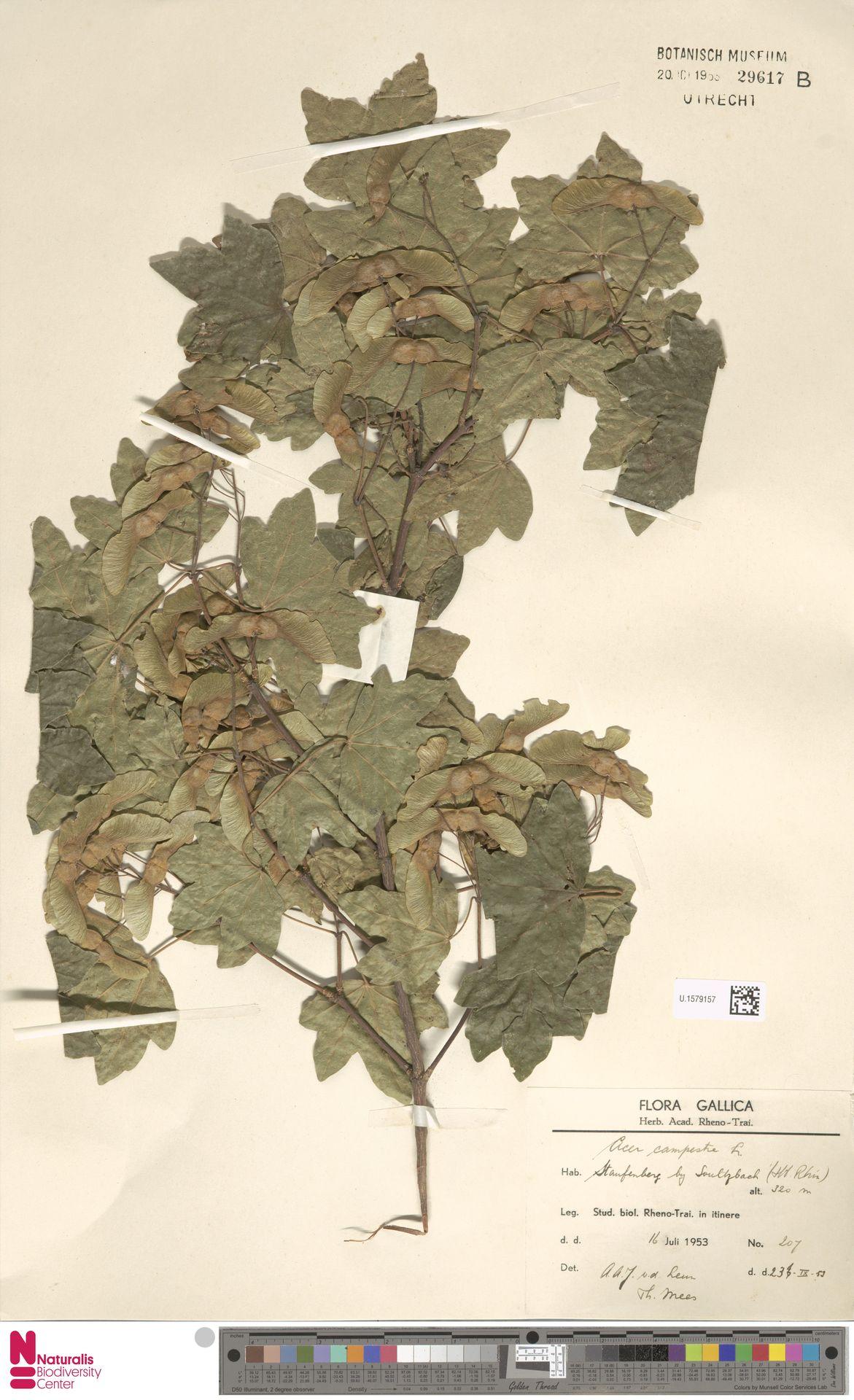 U.1579157 | Acer campestre L.