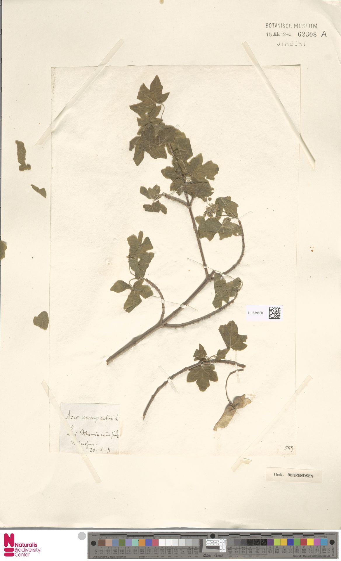 U.1579160 | Acer campestre L.