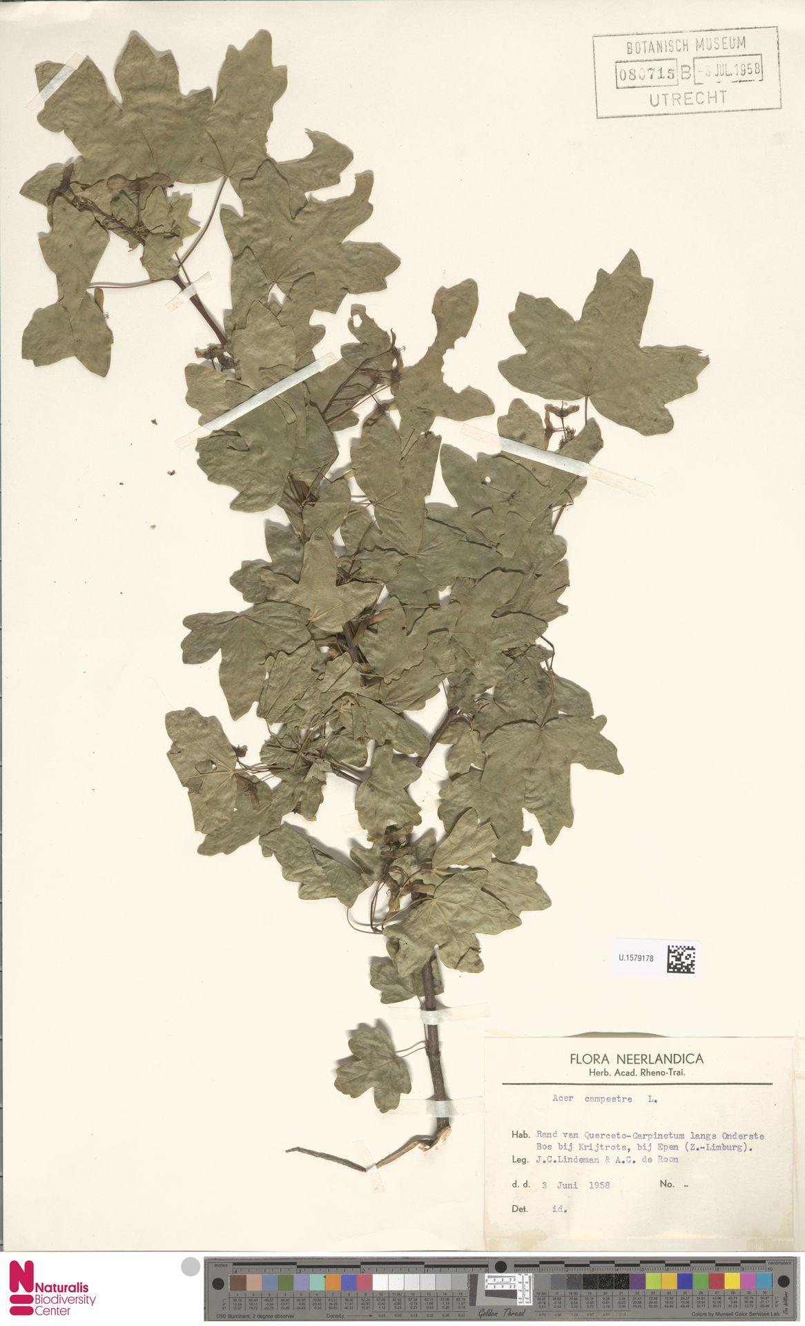 U.1579178   Acer campestre L.