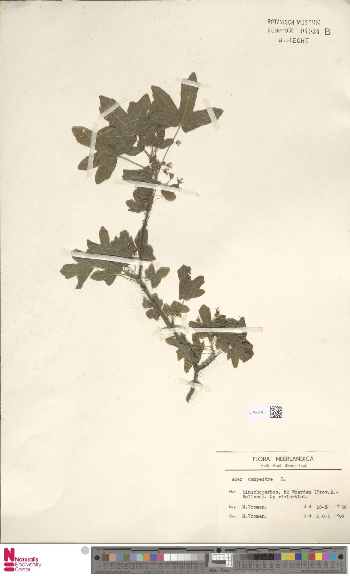 U.1579180 | Acer campestre L.