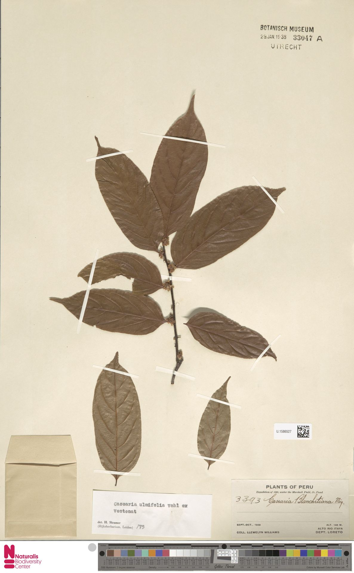 U.1586527 | Casearia ulmifolia Vahl ex Vent.