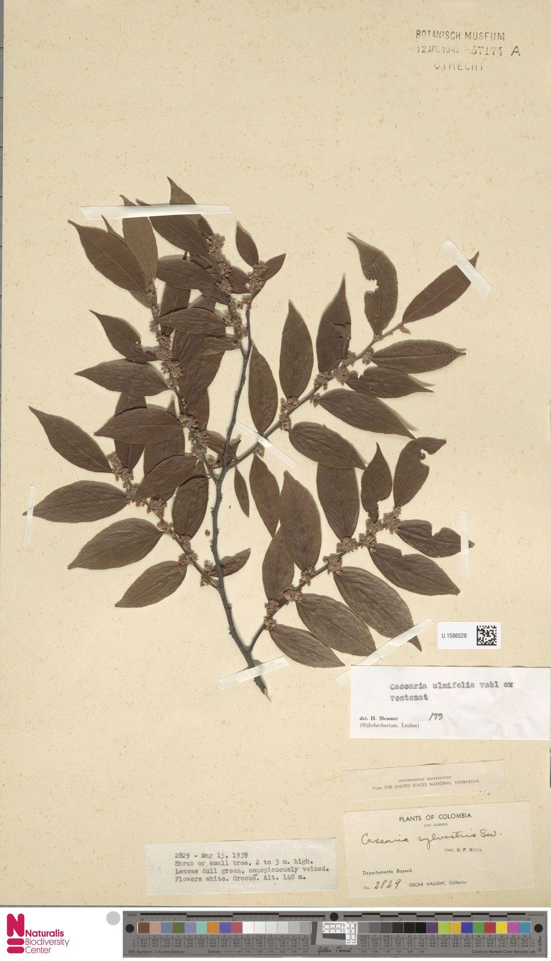 U.1586528 | Casearia ulmifolia Vahl ex Vent.