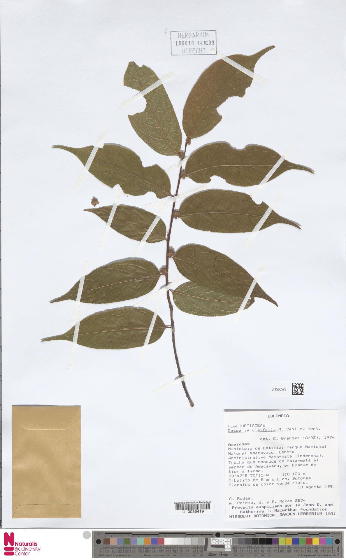 U.1586529 | Casearia ulmifolia Vahl ex Vent.