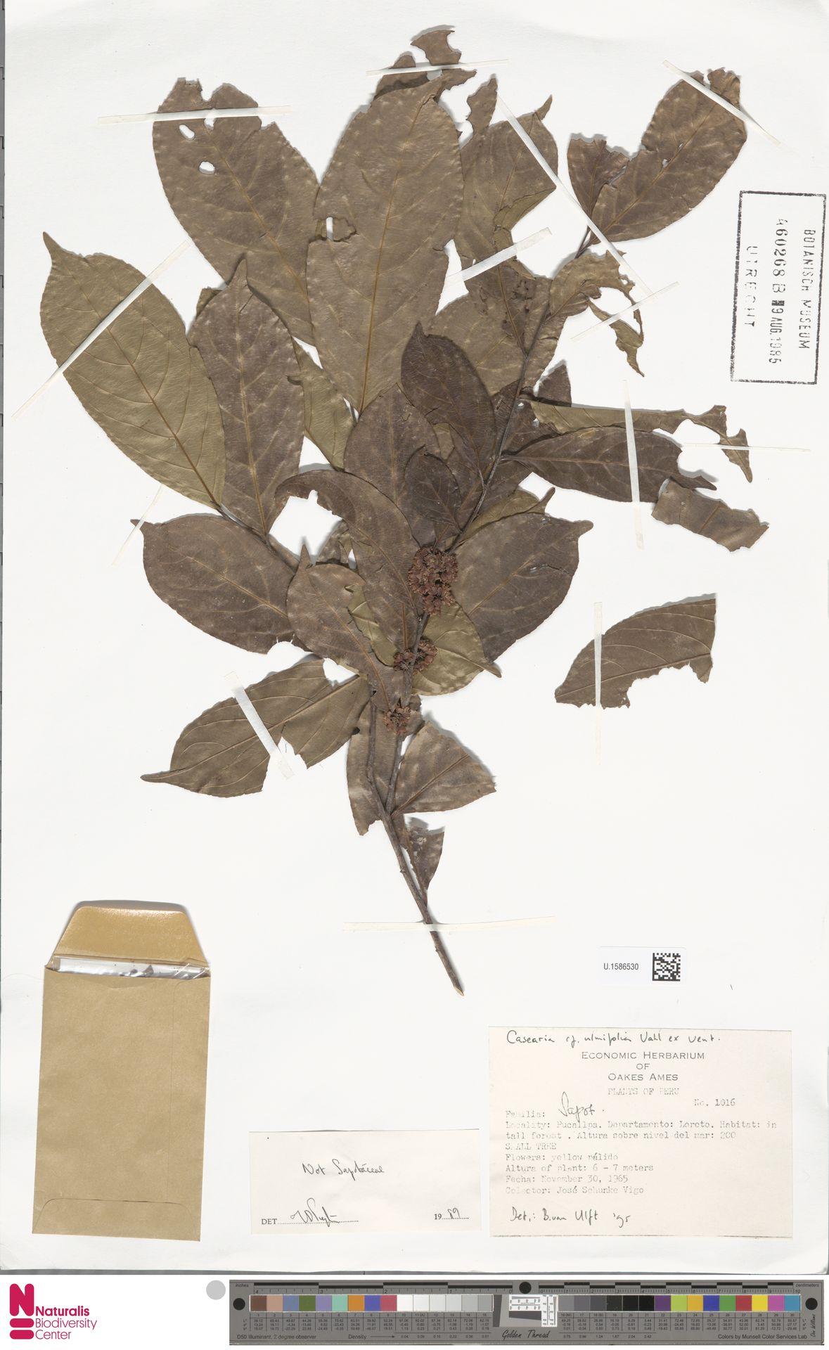 U.1586530 | Casearia ulmifolia Vahl ex Vent.