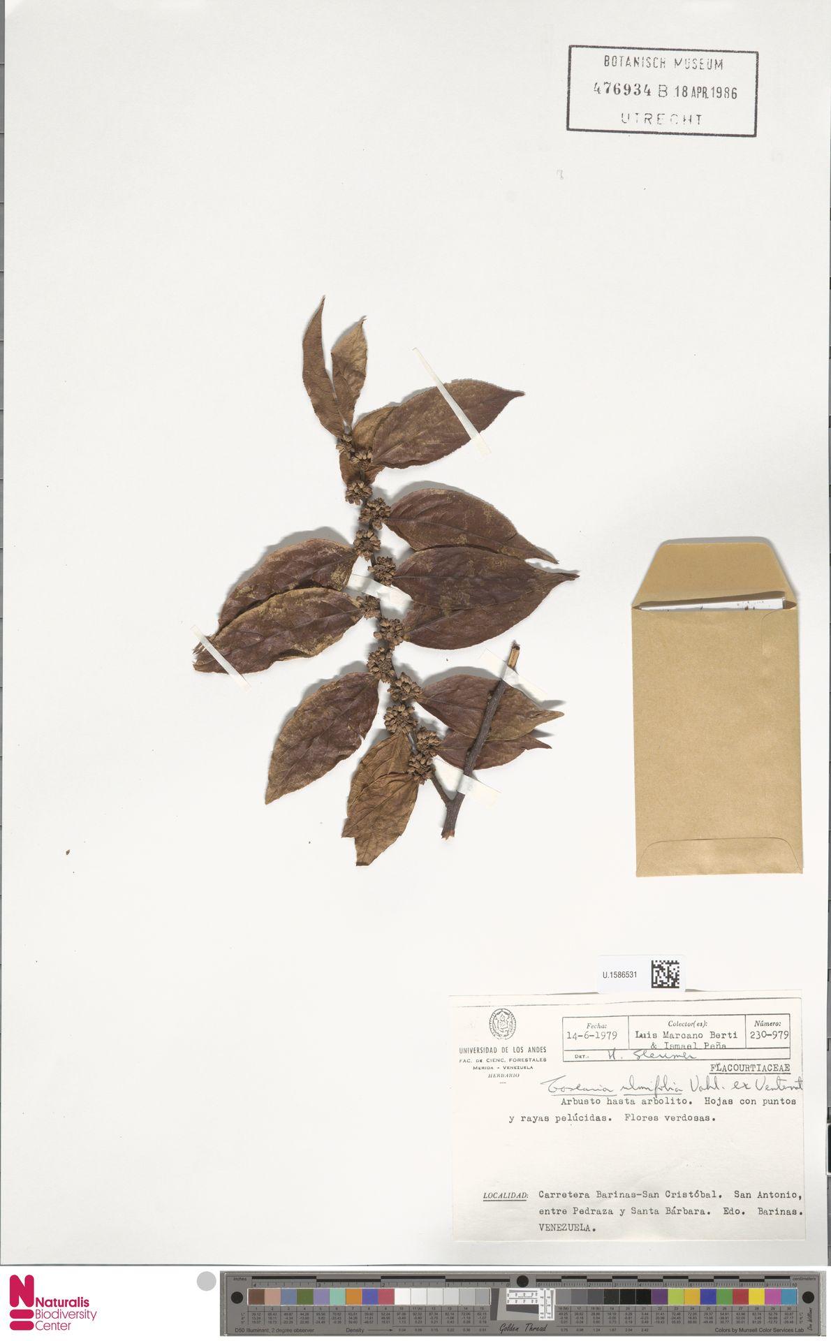 U.1586531 | Casearia ulmifolia Vahl ex Vent.