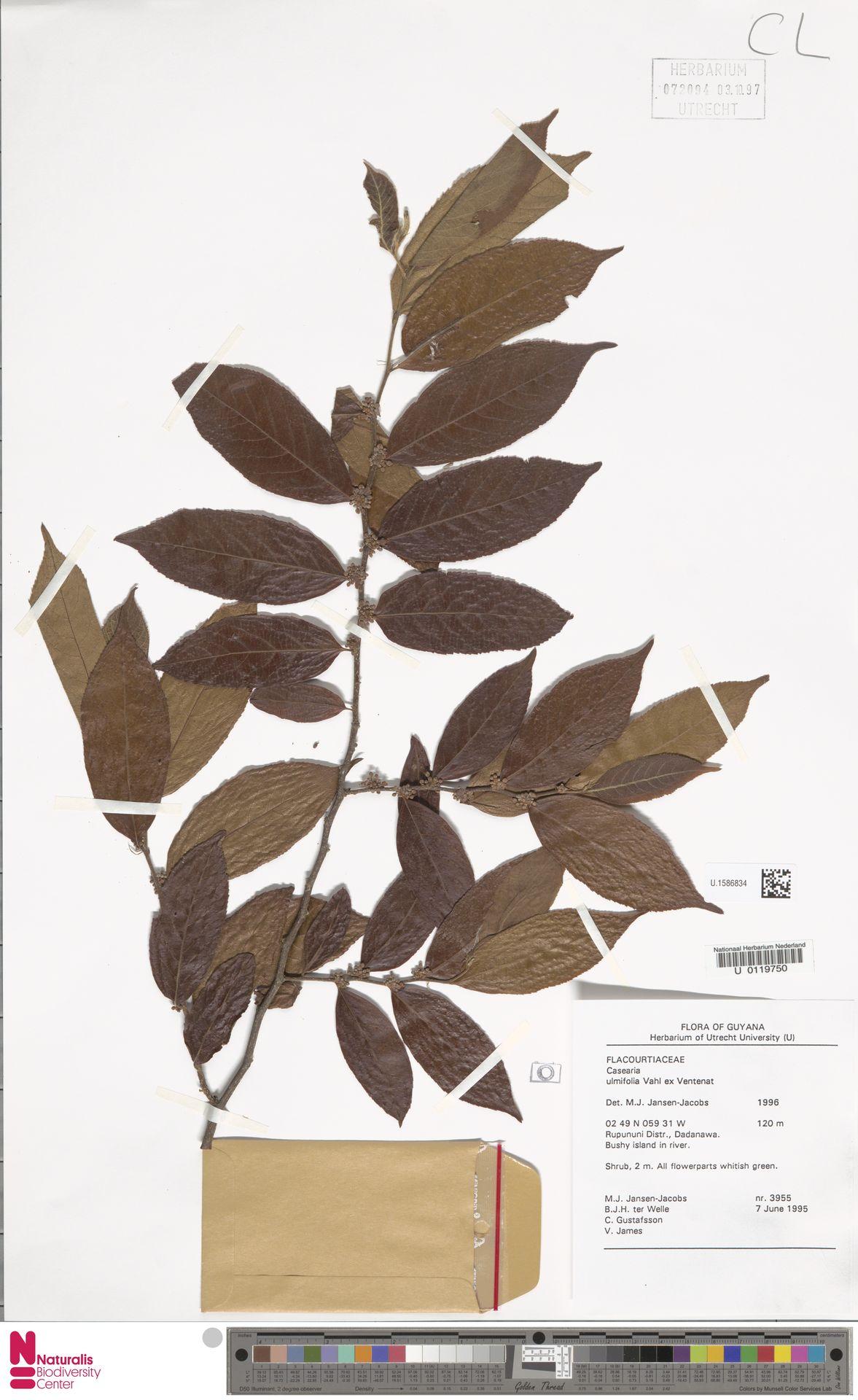 U.1586834 | Casearia ulmifolia Vahl ex Vent.