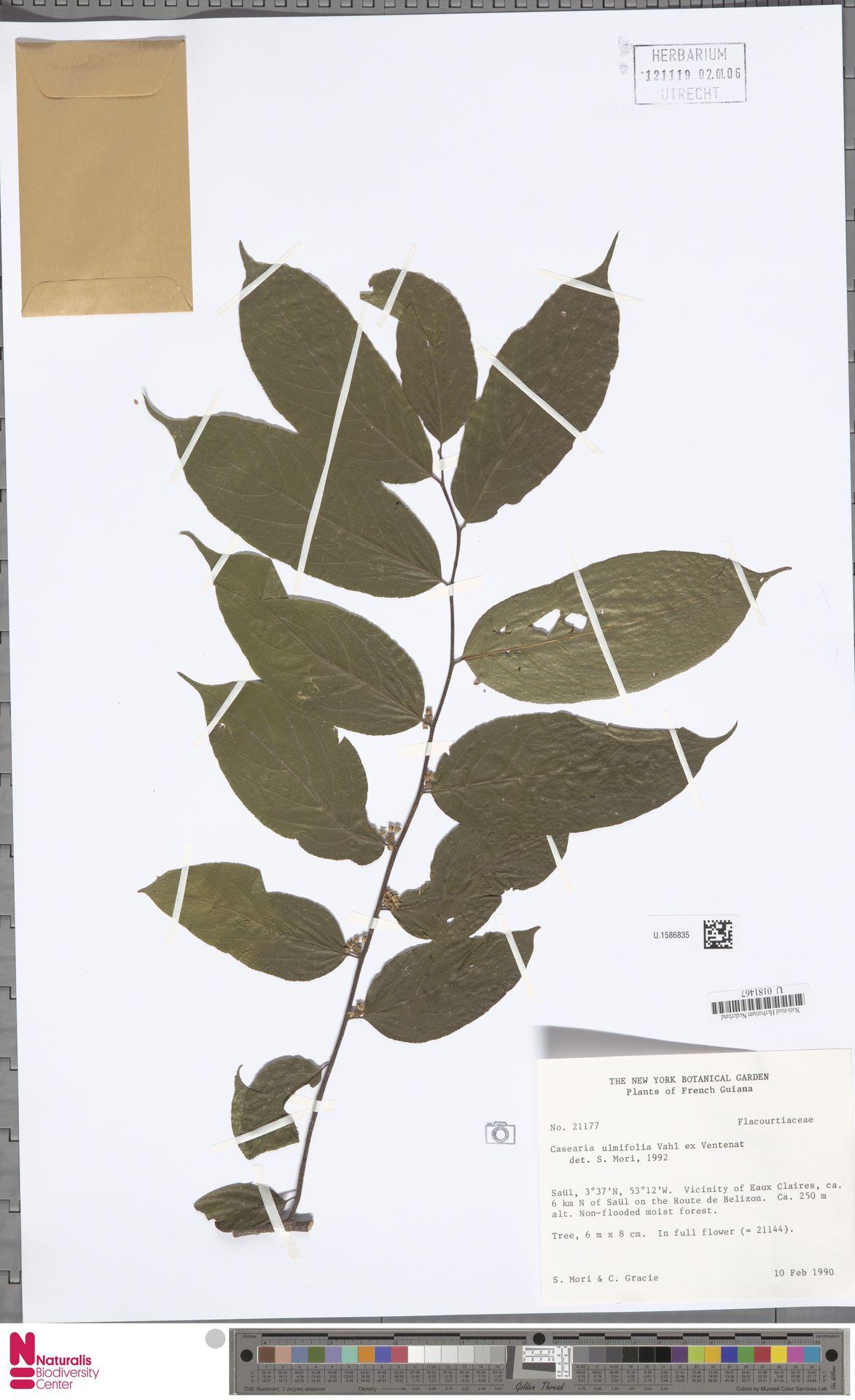 U.1586835 | Casearia ulmifolia Vahl ex Vent.