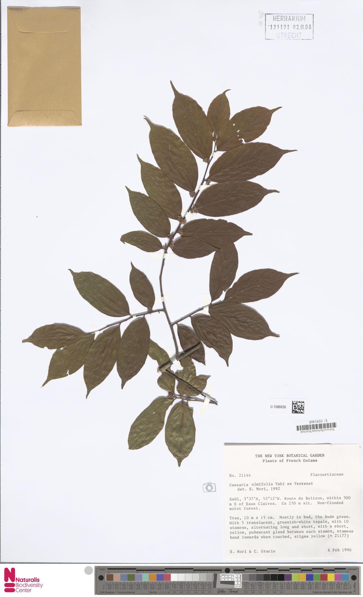 U.1586836 | Casearia ulmifolia Vahl ex Vent.