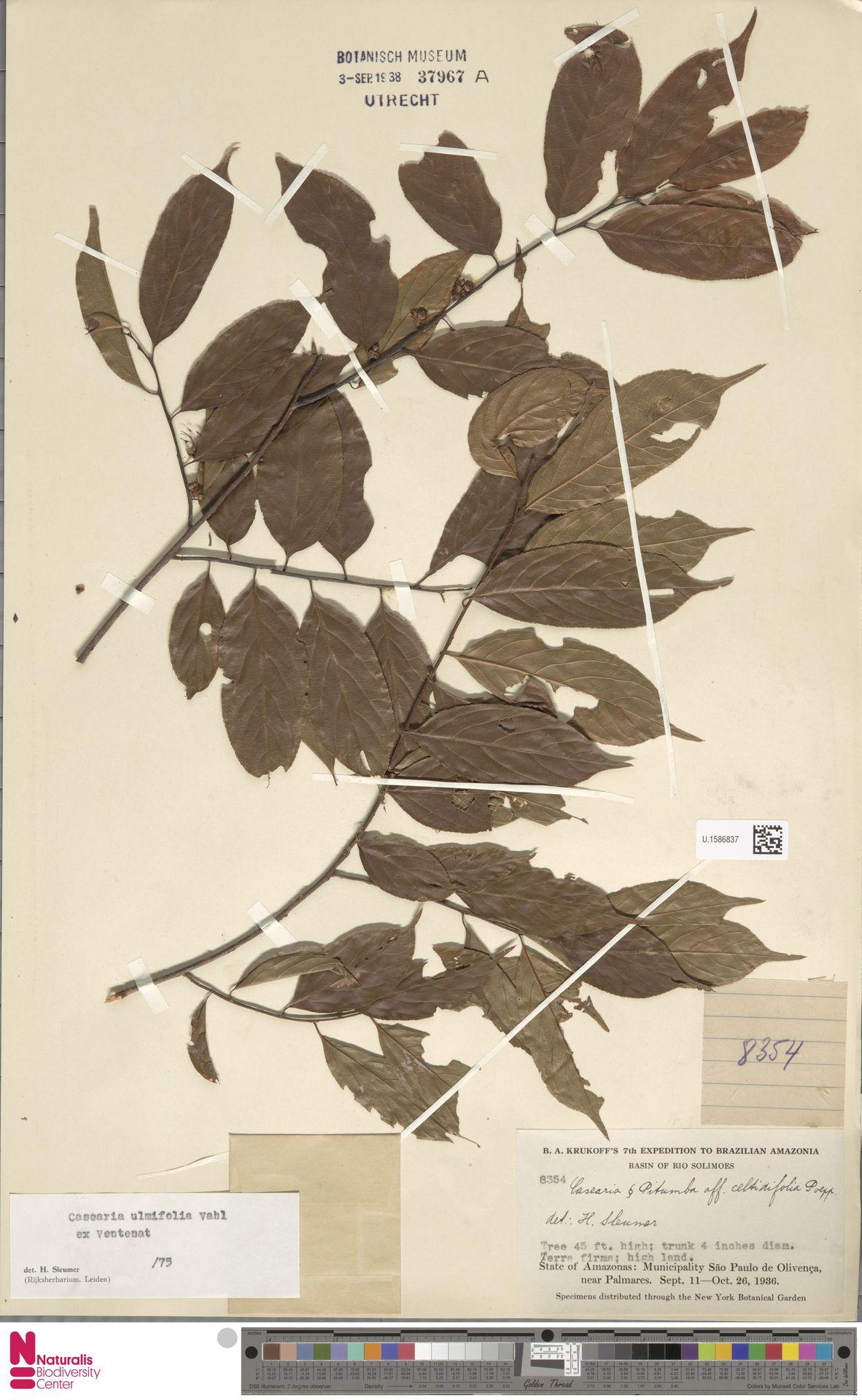 U.1586837 | Casearia ulmifolia Vahl ex Vent.