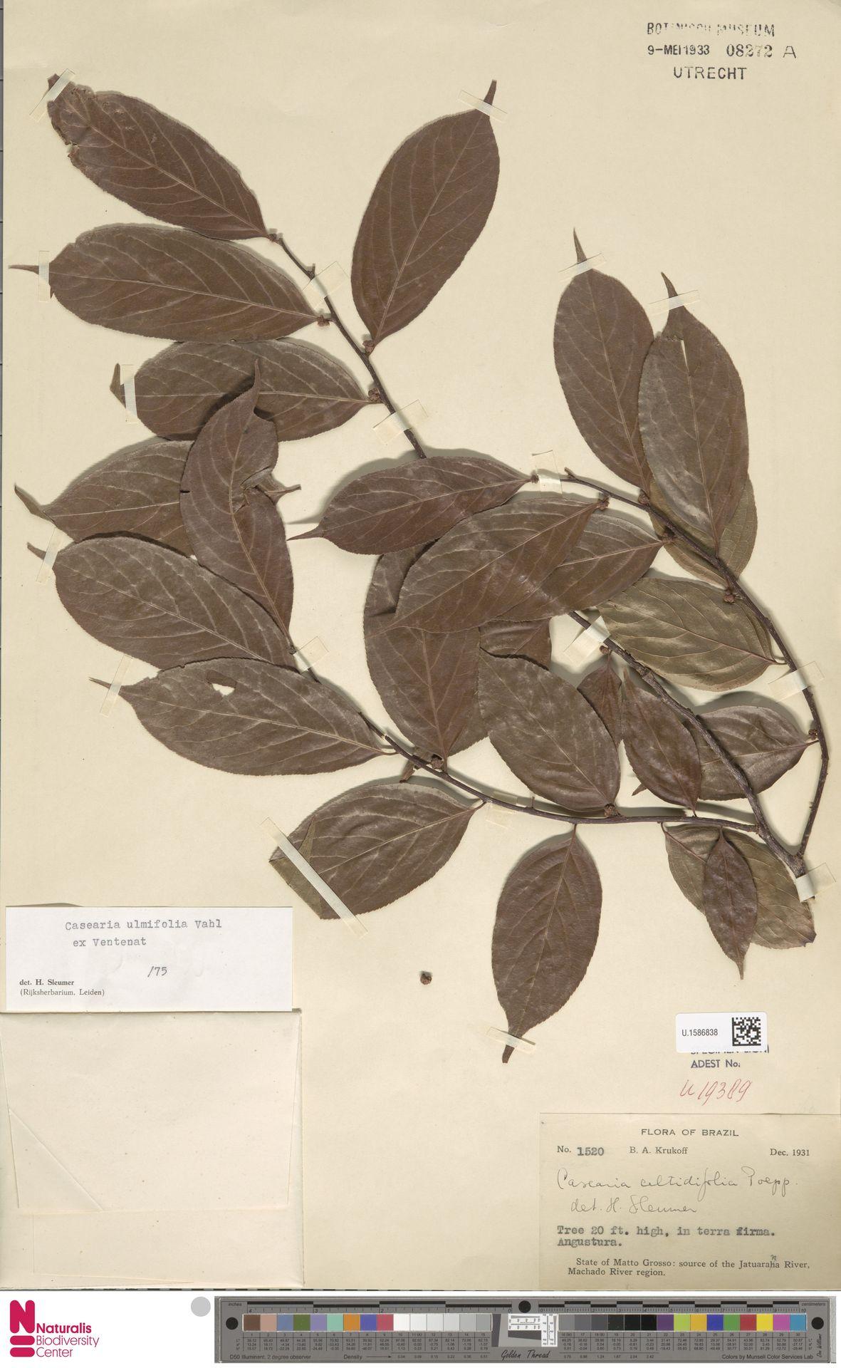 U.1586838 | Casearia ulmifolia Vahl ex Vent.