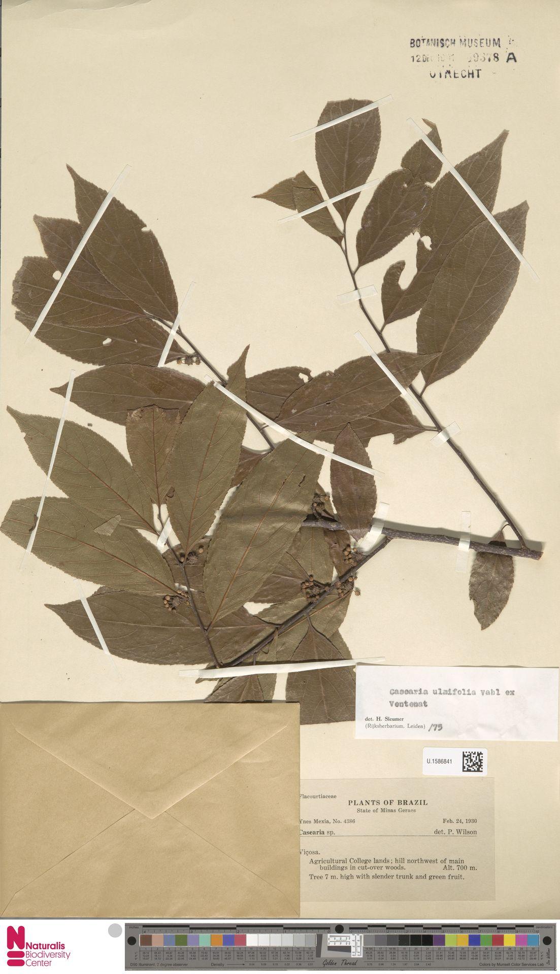 U.1586841 | Casearia ulmifolia Vahl ex Vent.