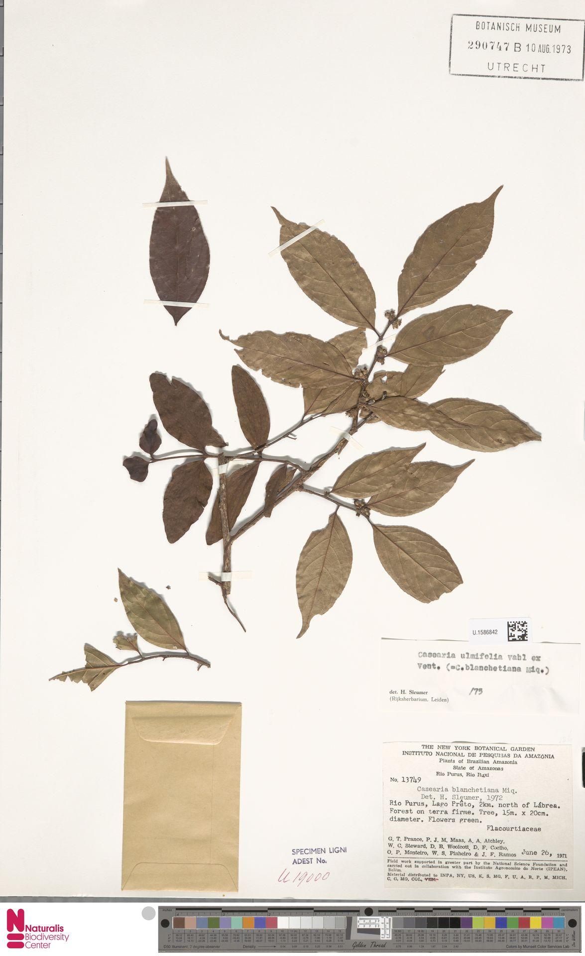 U.1586842 | Casearia ulmifolia Vahl ex Vent.