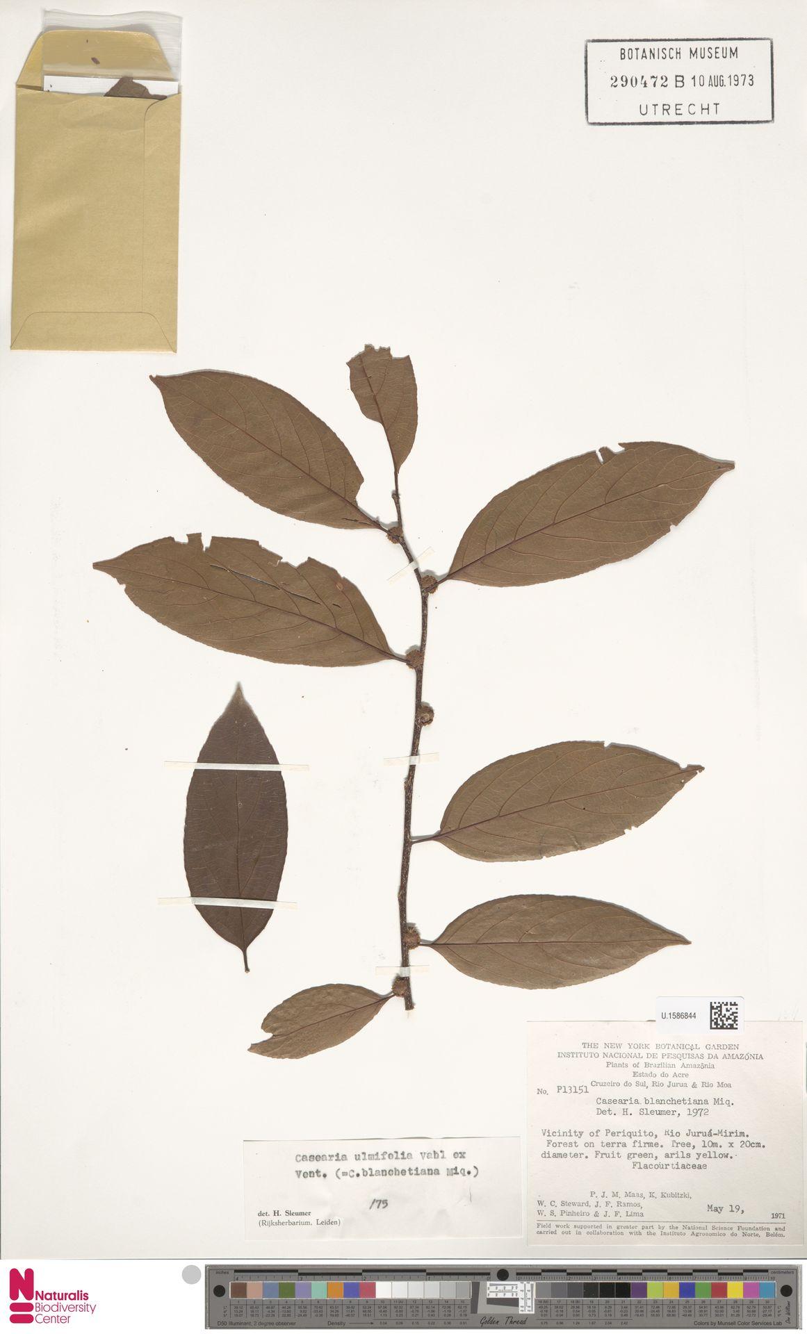 U.1586844 | Casearia ulmifolia Vahl ex Vent.