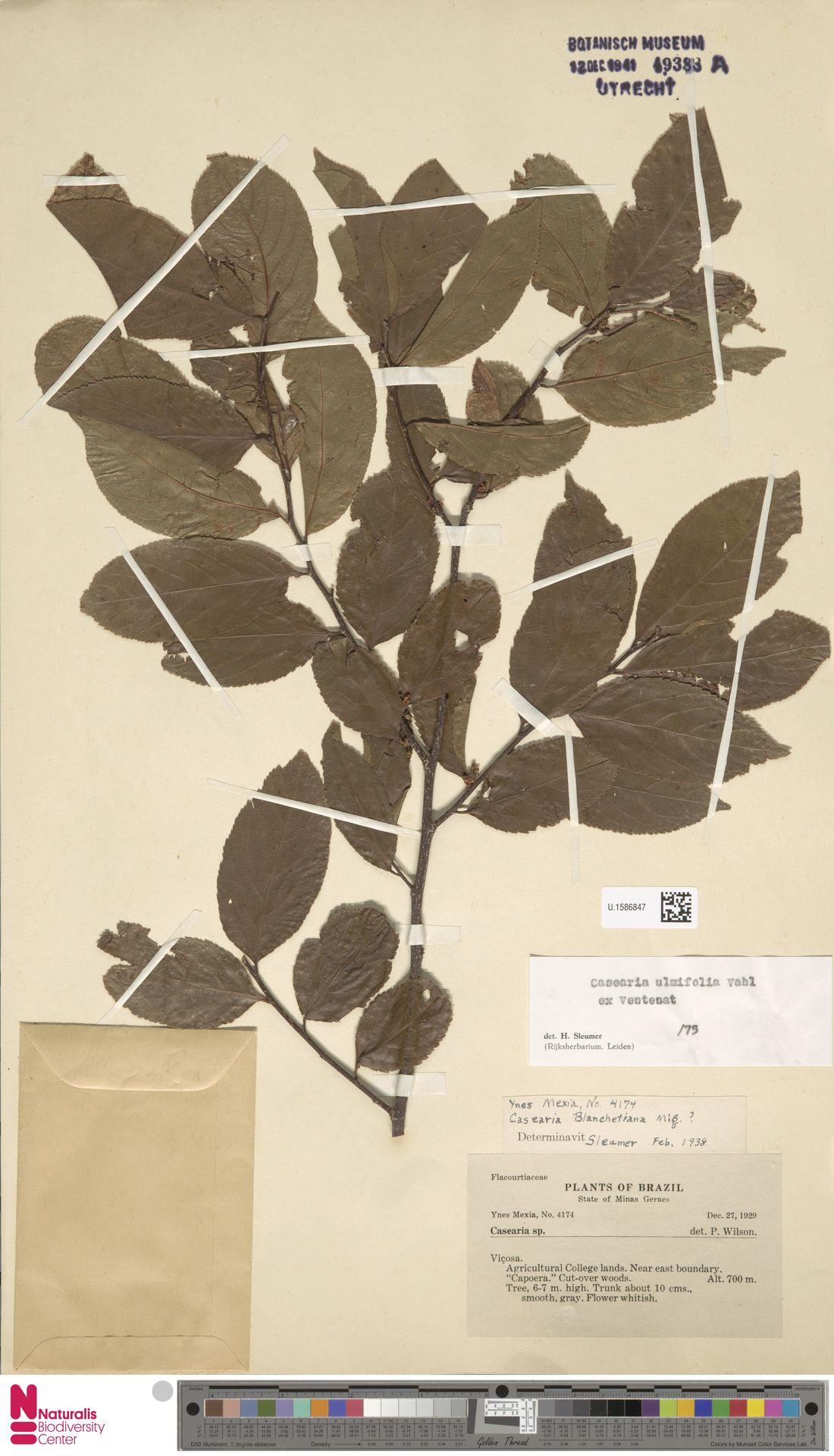 U.1586847 | Casearia ulmifolia Vahl ex Vent.