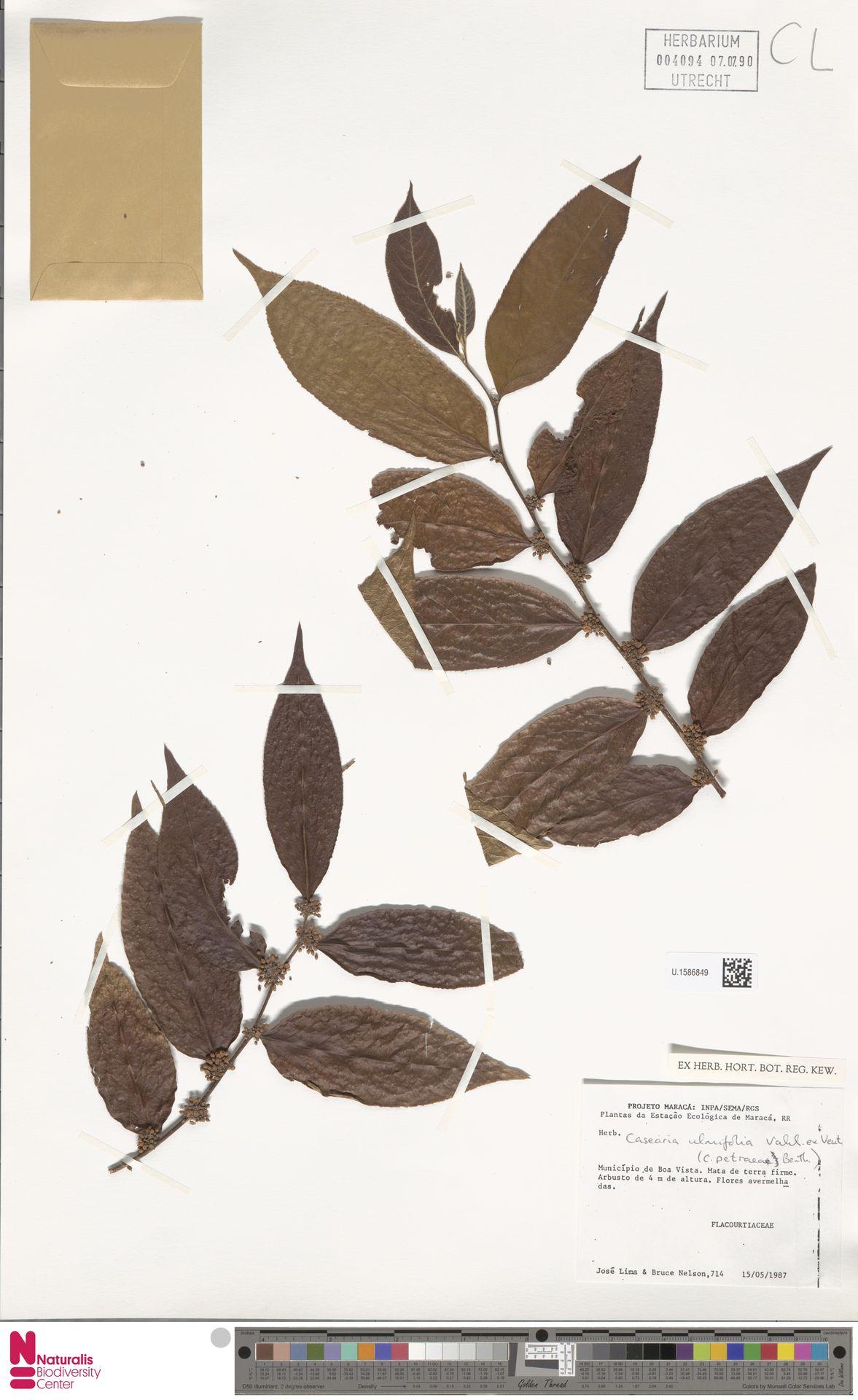 U.1586849 | Casearia ulmifolia Vahl ex Vent.