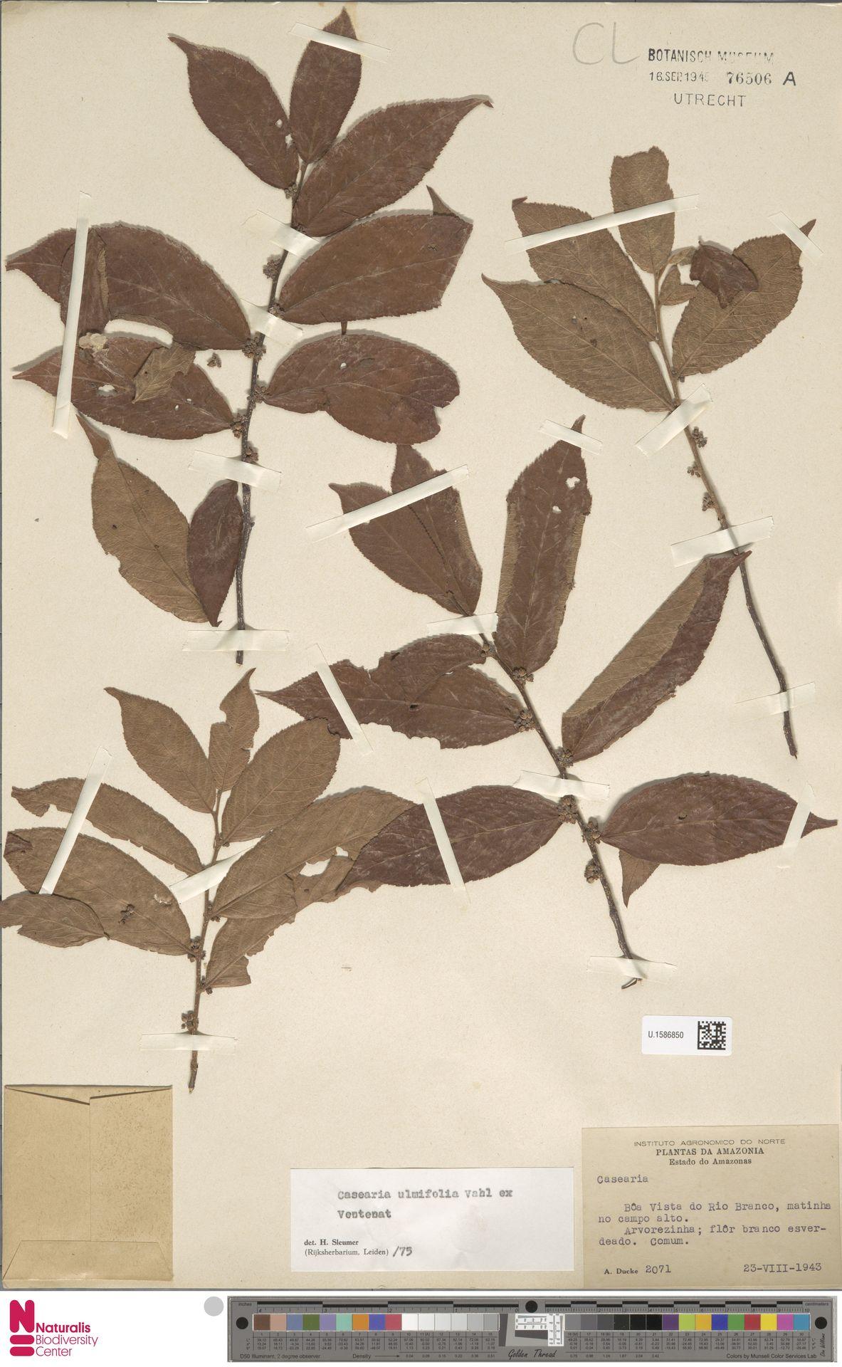 U.1586850 | Casearia ulmifolia Vahl ex Vent.