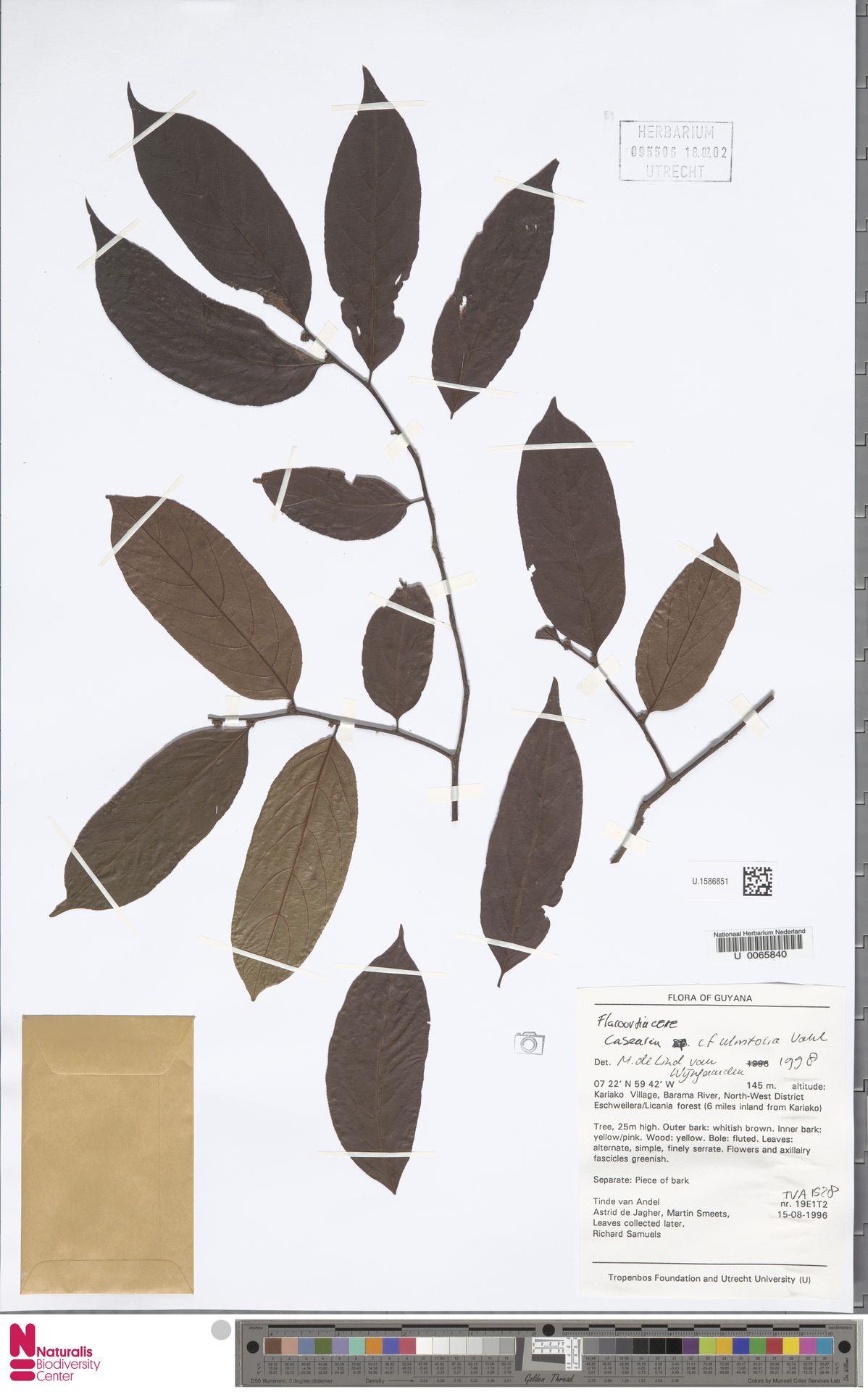 U.1586851 | Casearia ulmifolia Vahl ex Vent.