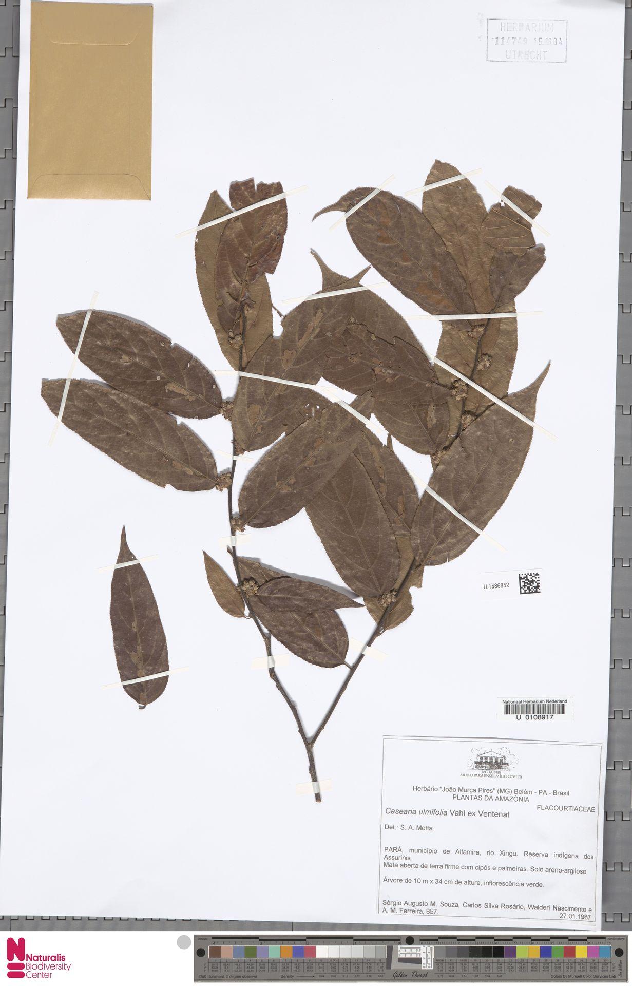 U.1586852 | Casearia ulmifolia Vahl ex Vent.