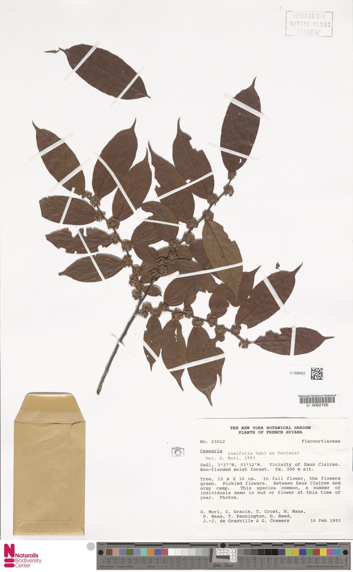 U.1586853 | Casearia ulmifolia Vahl ex Vent.