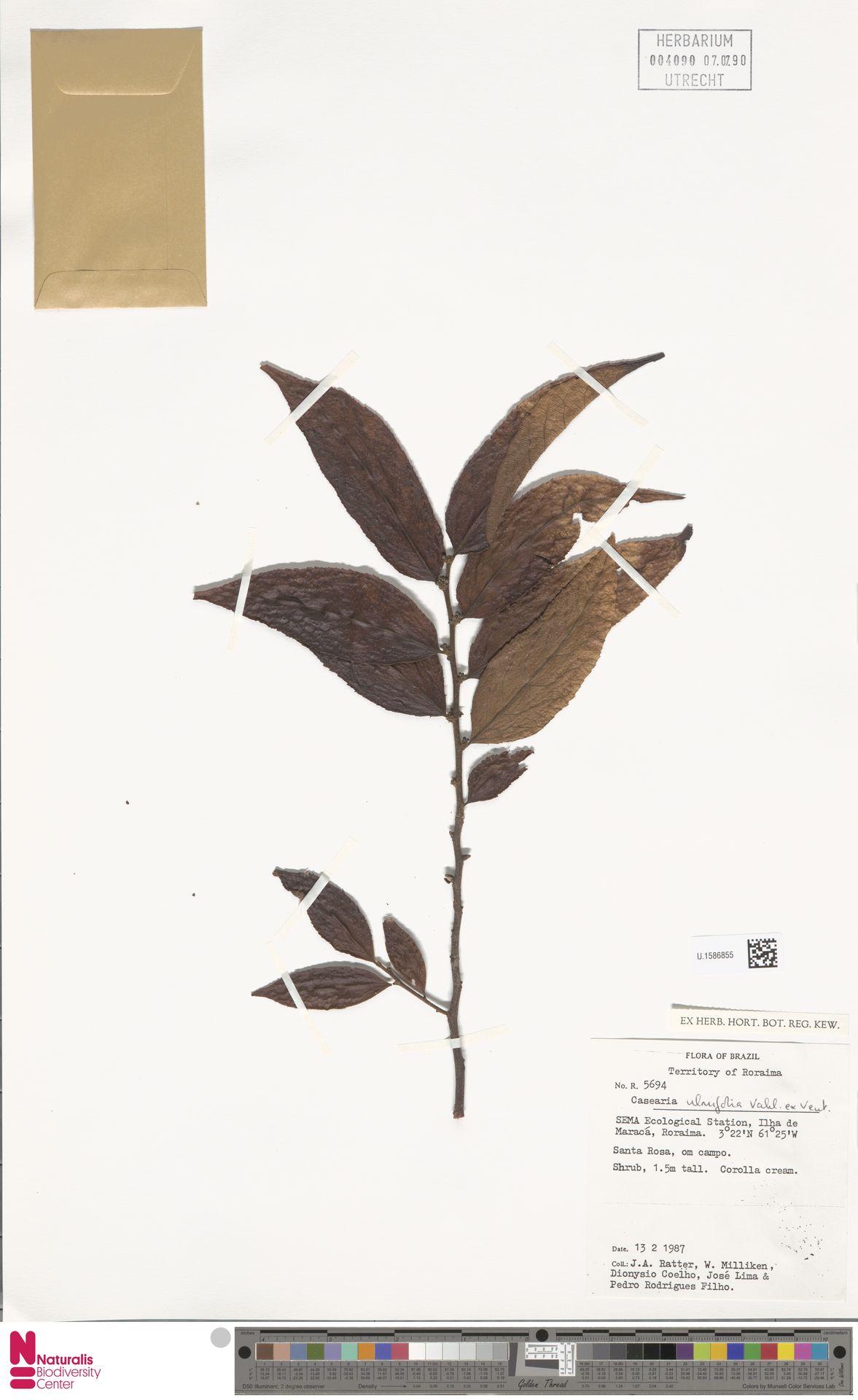 U.1586855 | Casearia ulmifolia Vahl ex Vent.