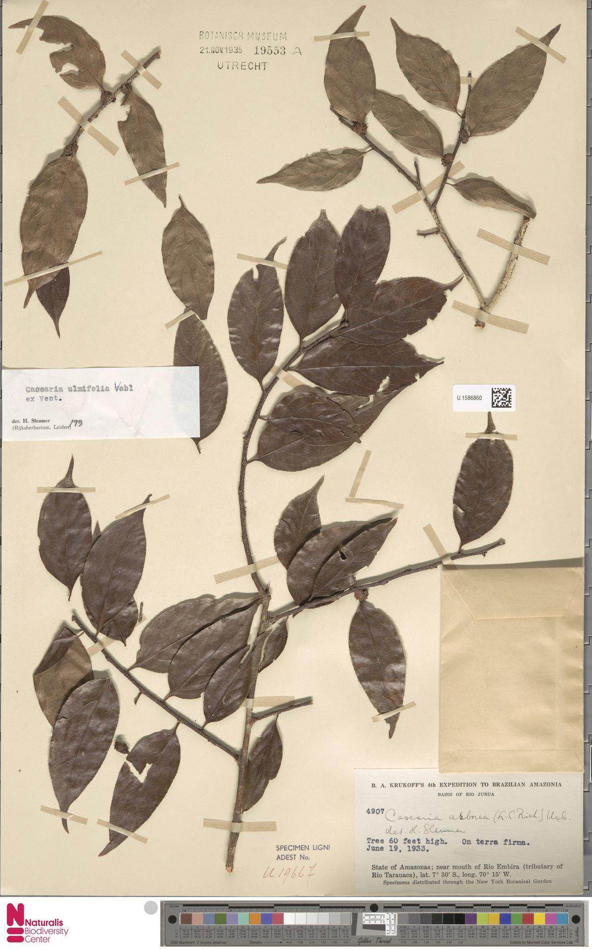 U.1586860 | Casearia ulmifolia Vahl ex Vent.