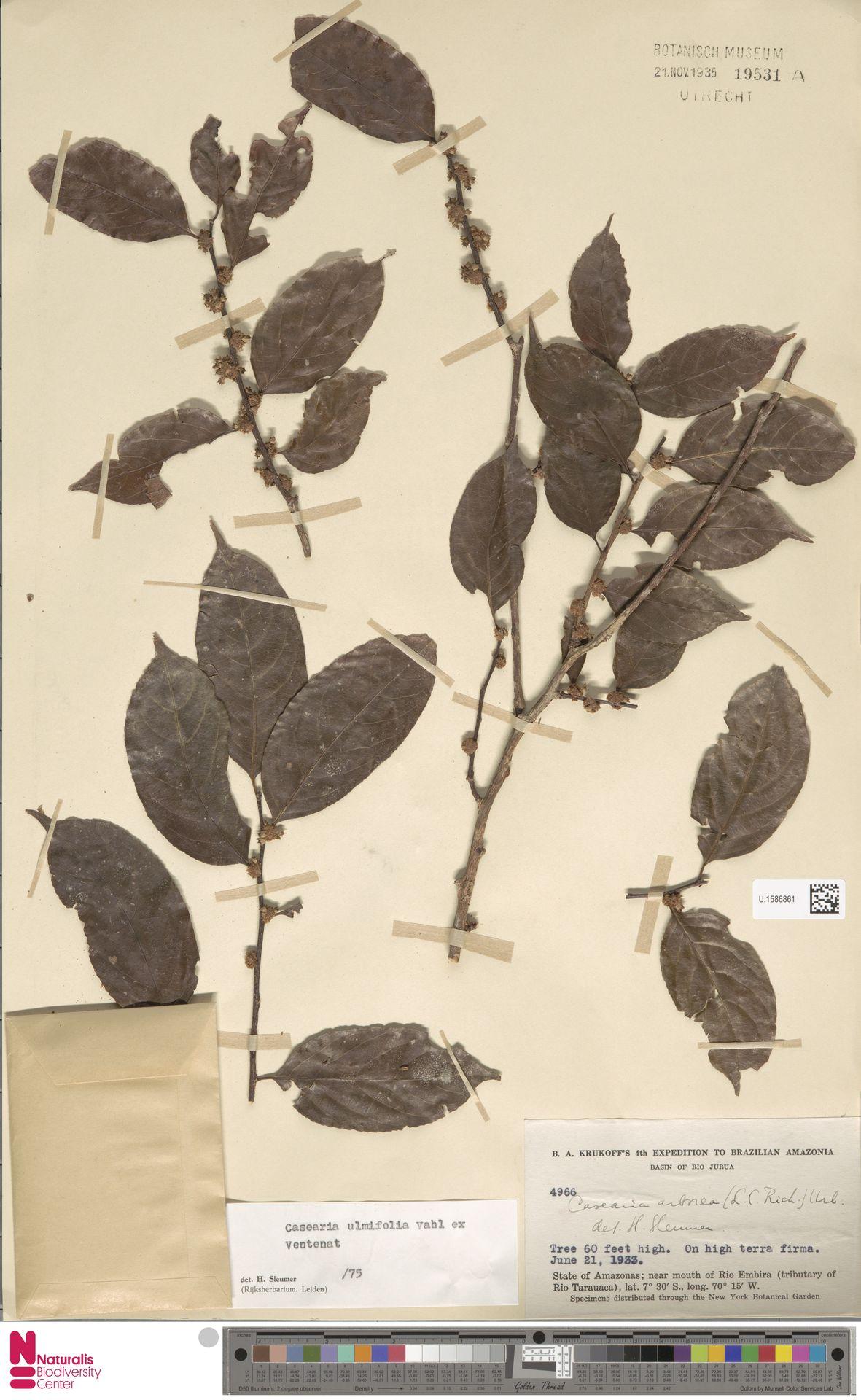 U.1586861 | Casearia ulmifolia Vahl ex Vent.