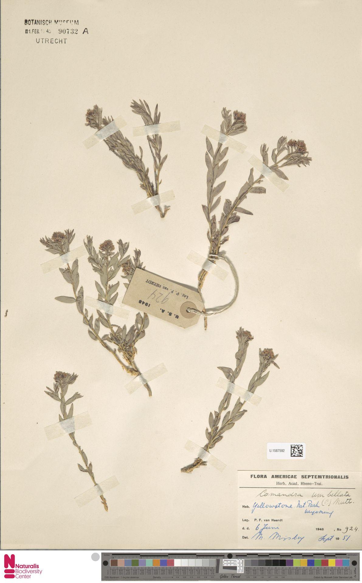 U.1587592 | Comandra umbellata (L.) Nutt.