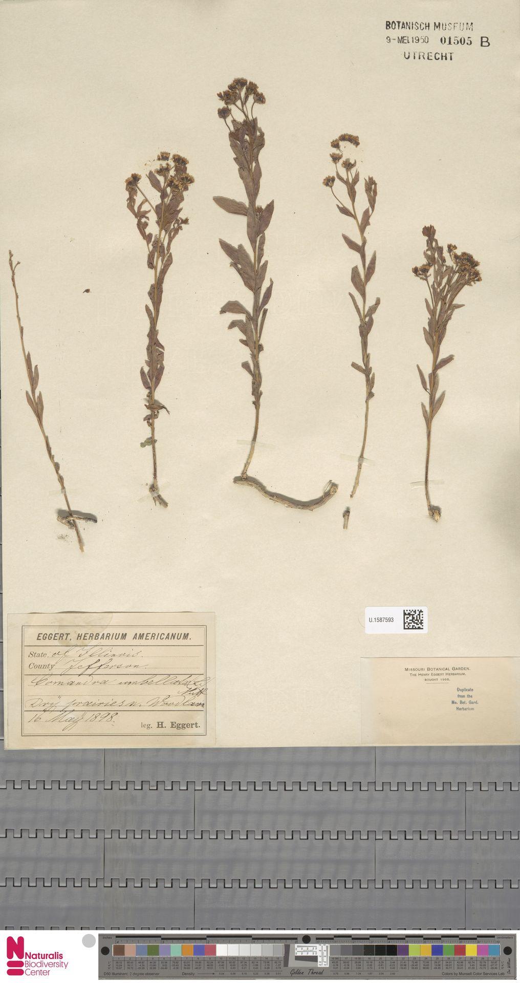 U.1587593 | Comandra umbellata (L.) Nutt.