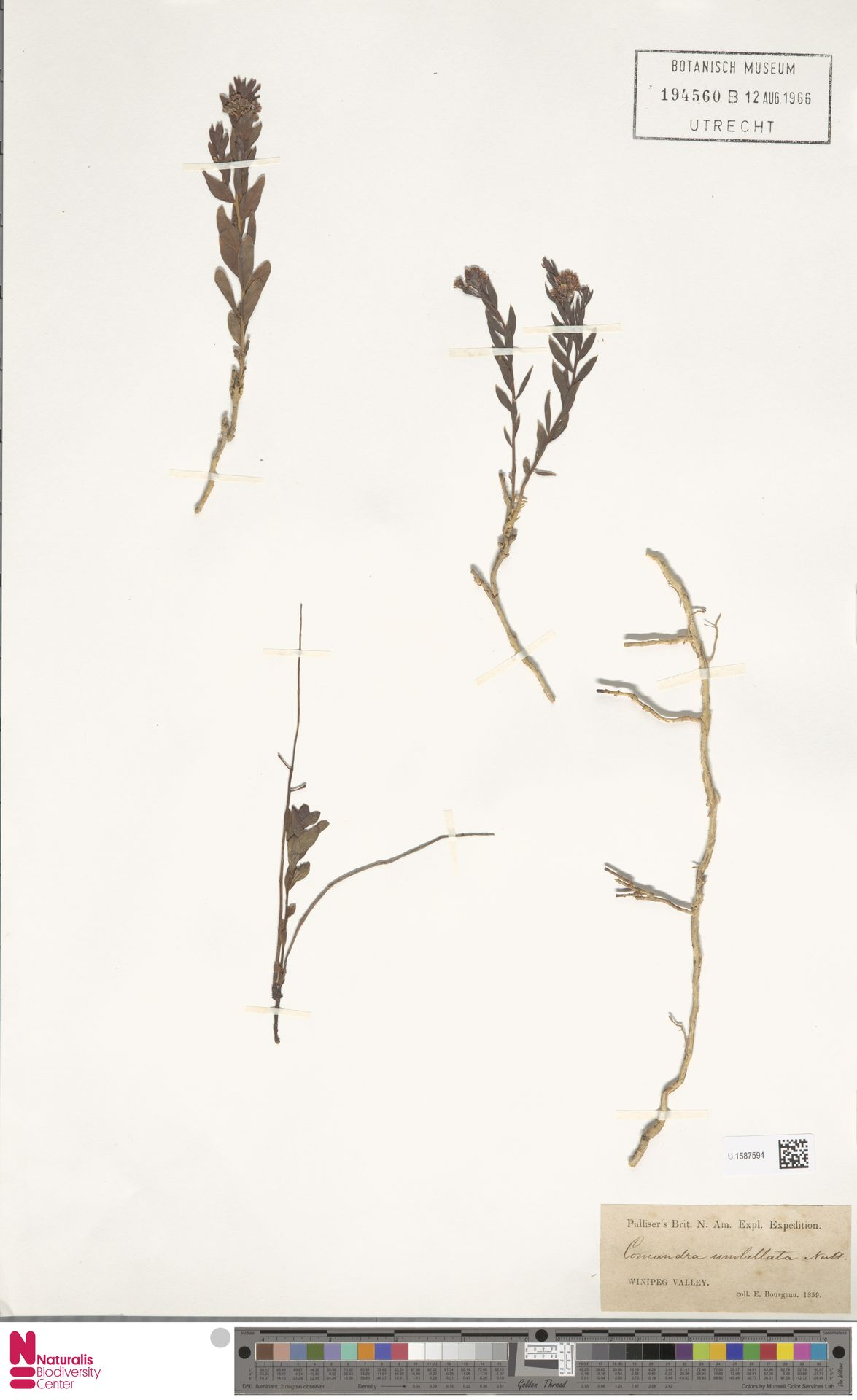 U.1587594 | Comandra umbellata (L.) Nutt.