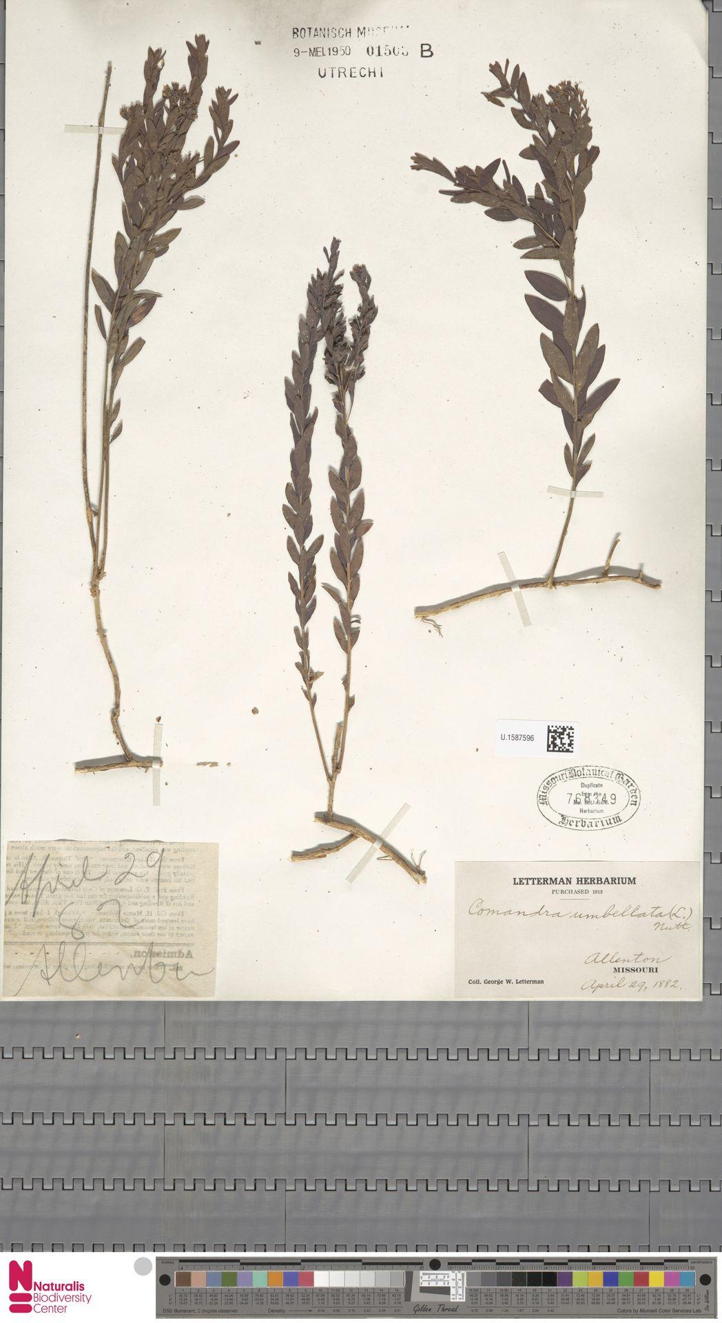 U.1587596   Comandra umbellata (L.) Nutt.
