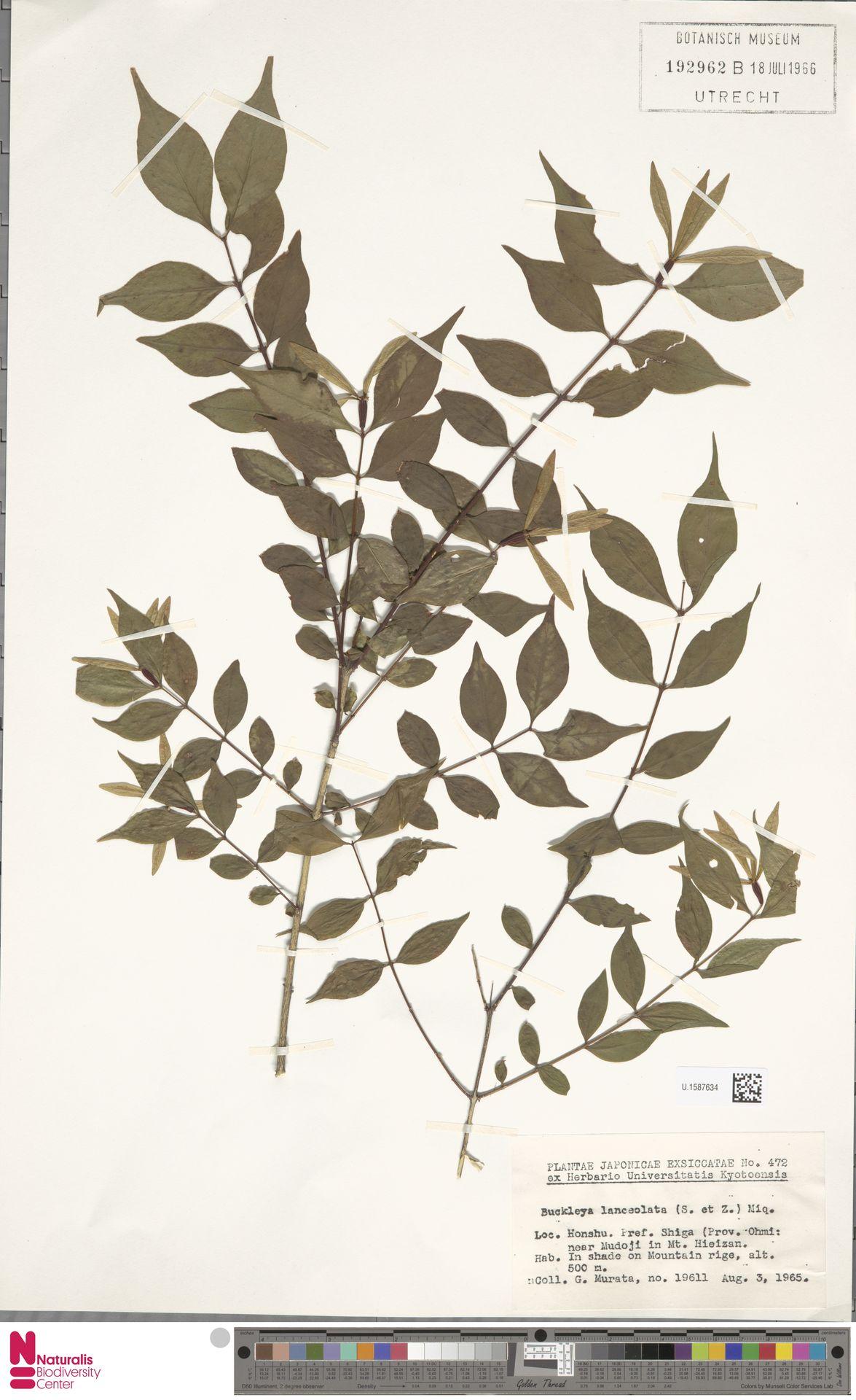 U.1587634   Buckleya lanceolata (Siebold & Zucc.) Miq.