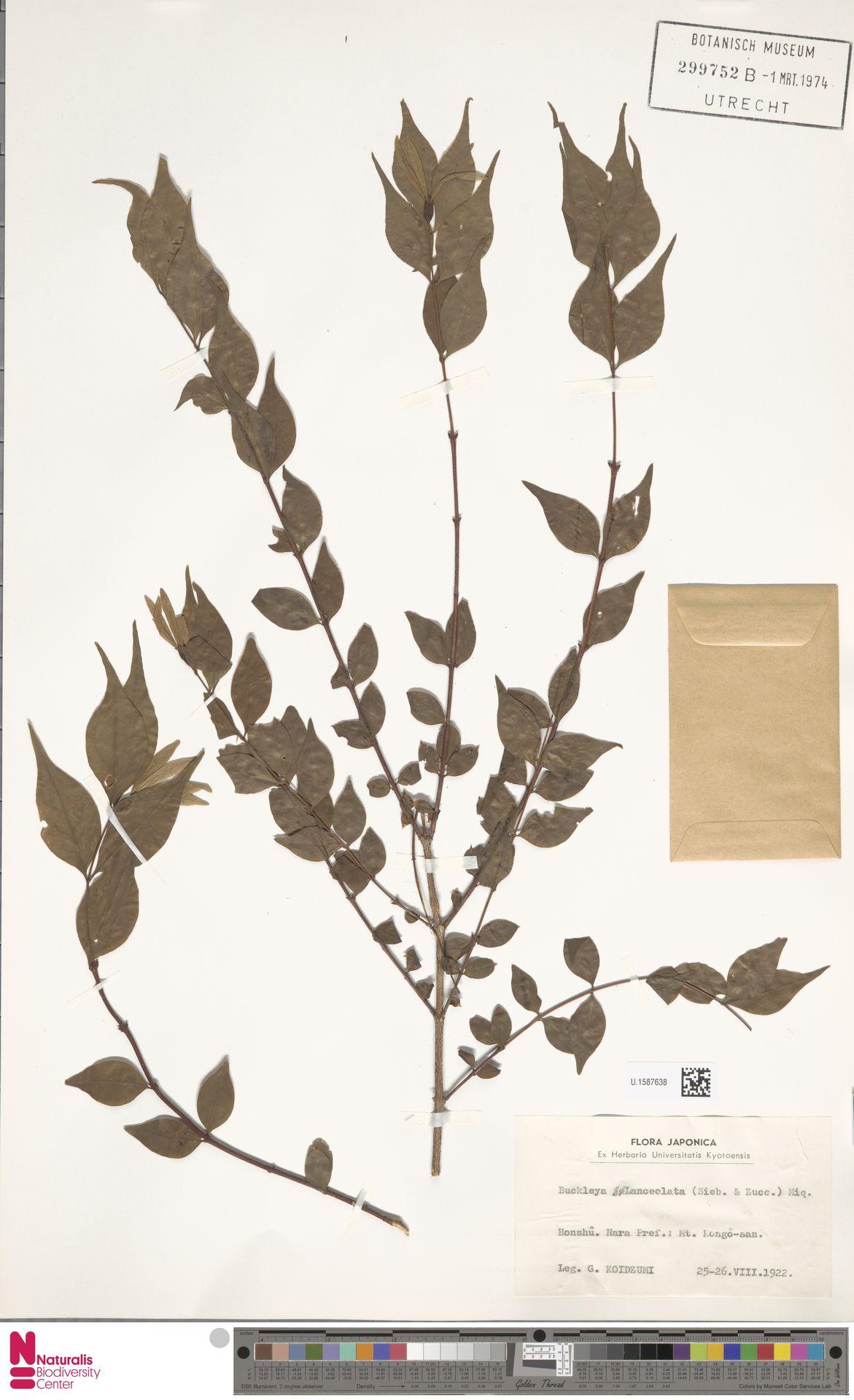 U.1587638 | Buckleya lanceolata (Siebold & Zucc.) Miq.