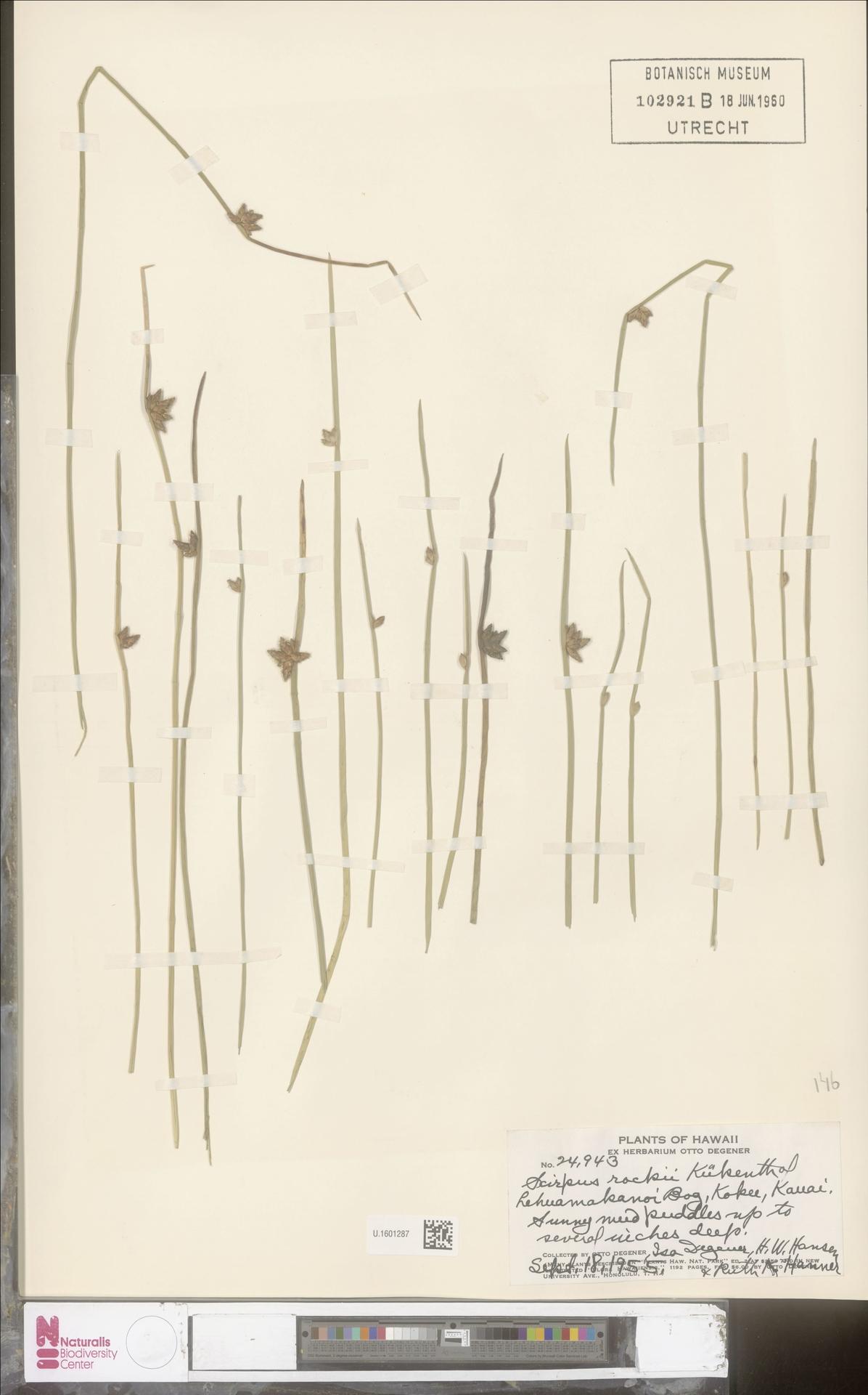 U.1601287 | Scirpus rockii Kük.