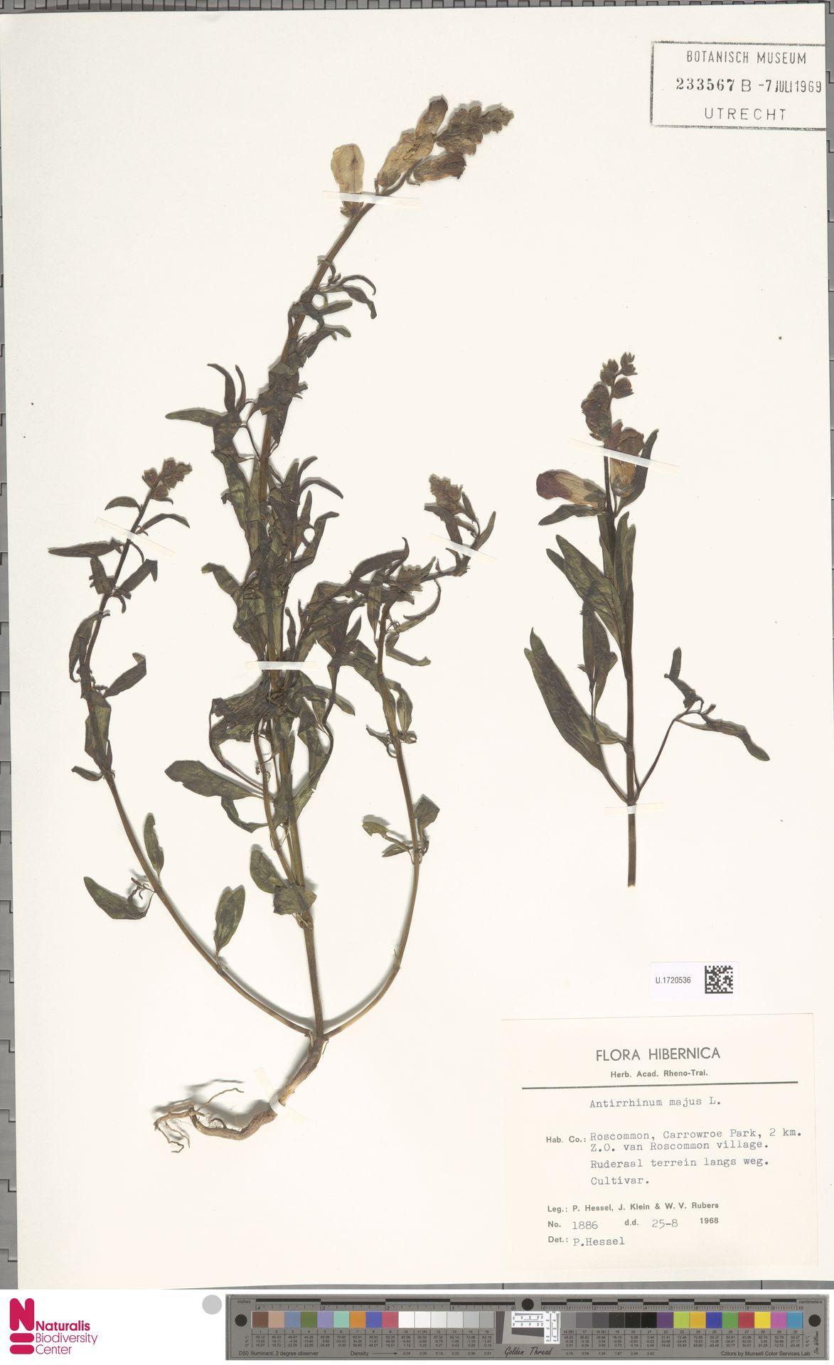 U.1720536   Antirrhinum majus L.