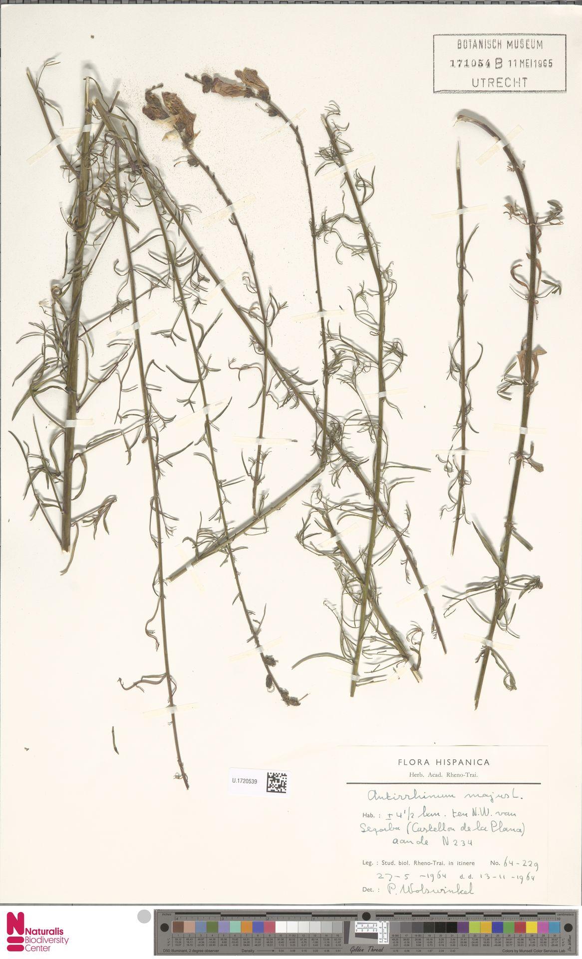 U.1720539 | Antirrhinum majus L.