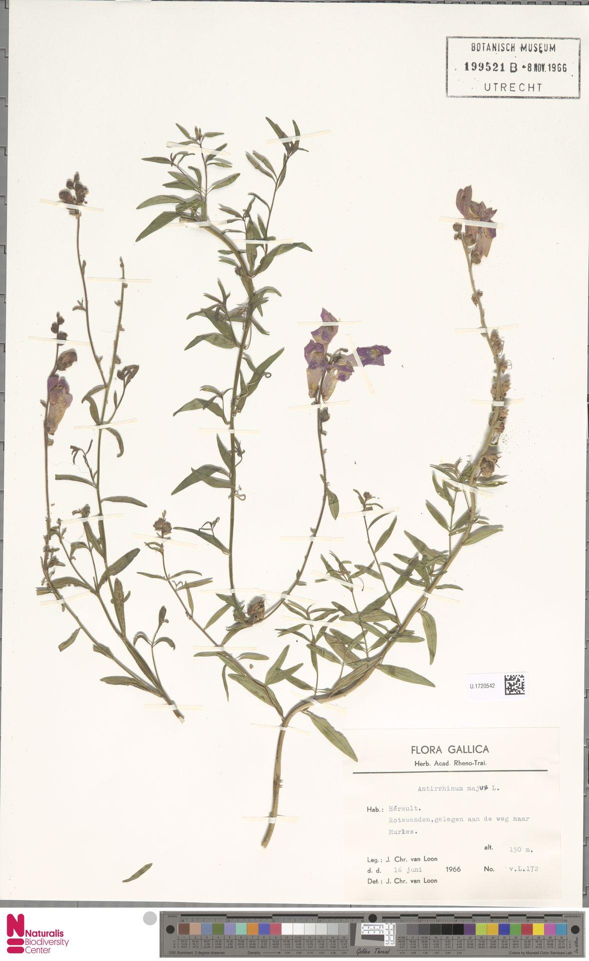 U.1720542 | Antirrhinum majus L.