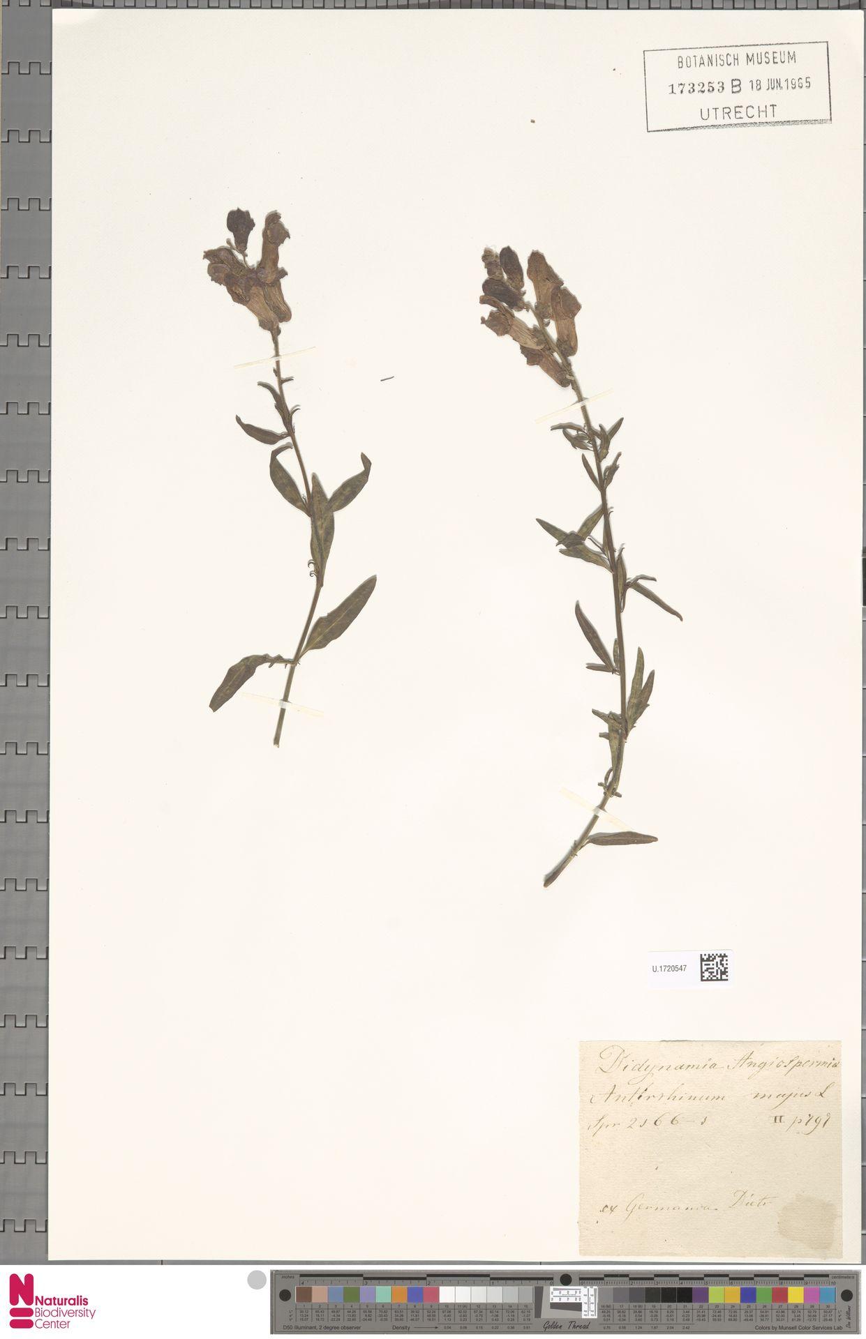 U.1720547 | Antirrhinum majus L.