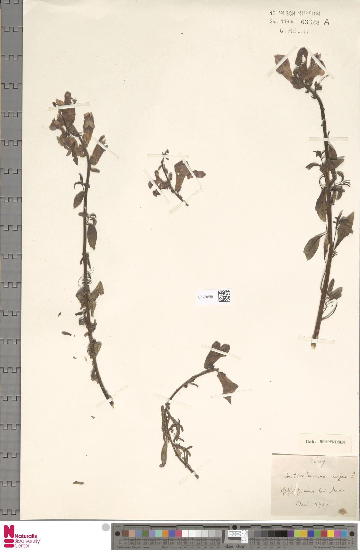 U.1720550 | Antirrhinum majus L.