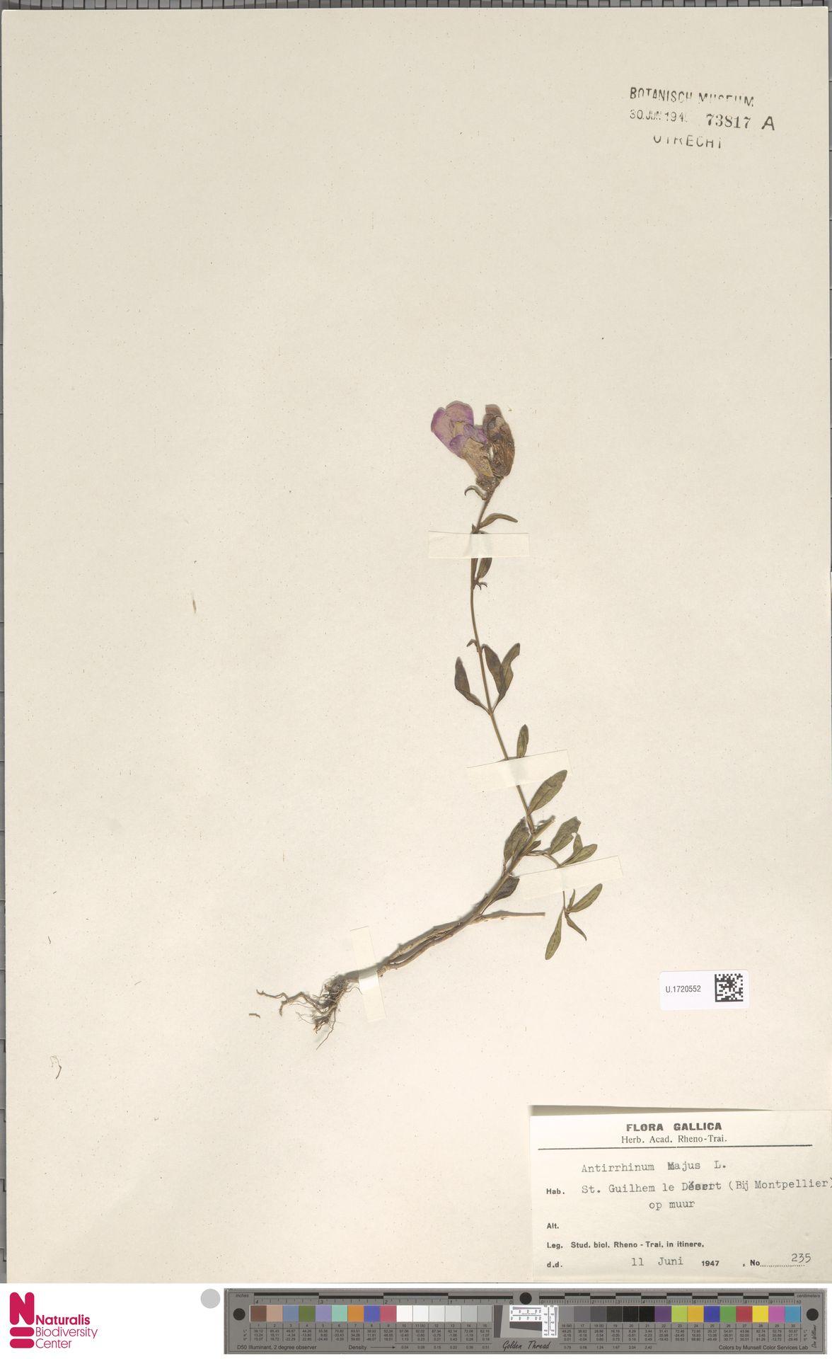 U.1720552 | Antirrhinum majus L.