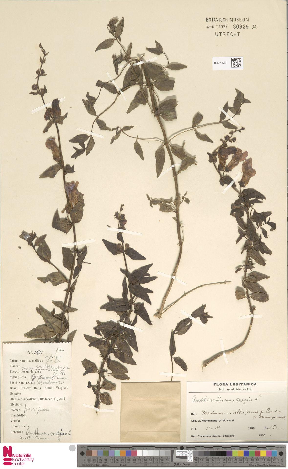 U.1720590 | Antirrhinum majus L.