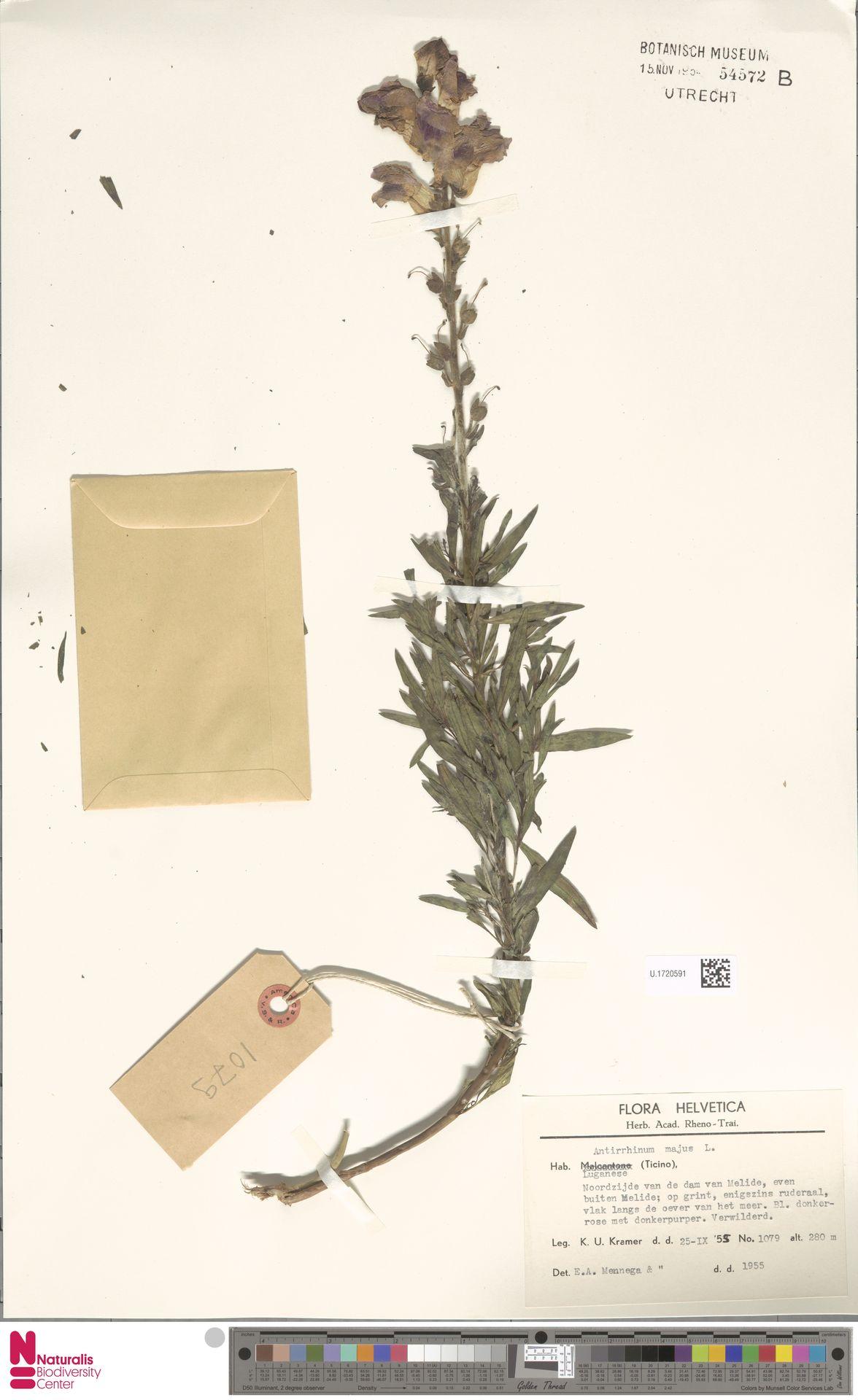 U.1720591 | Antirrhinum majus L.