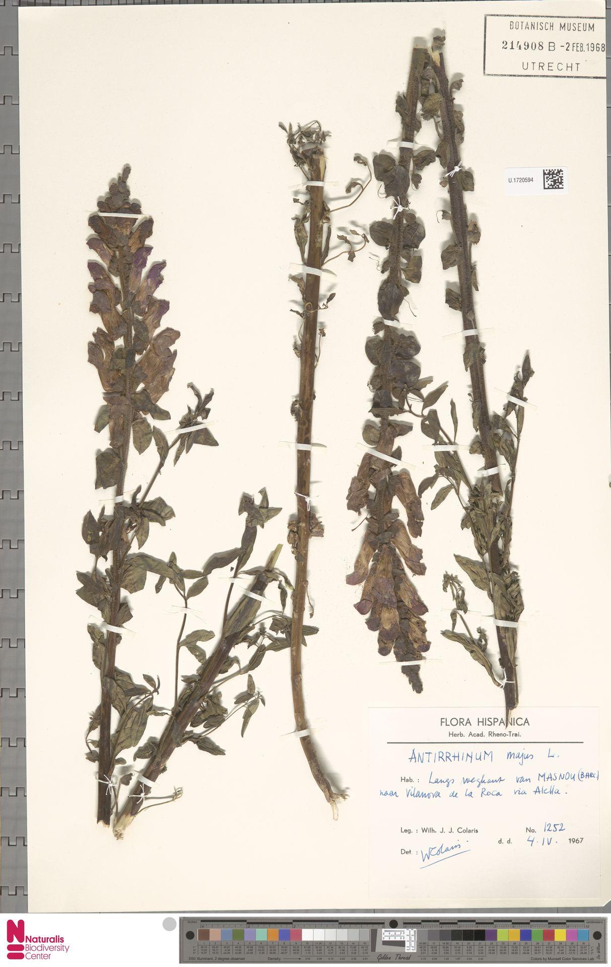U.1720594 | Antirrhinum majus L.