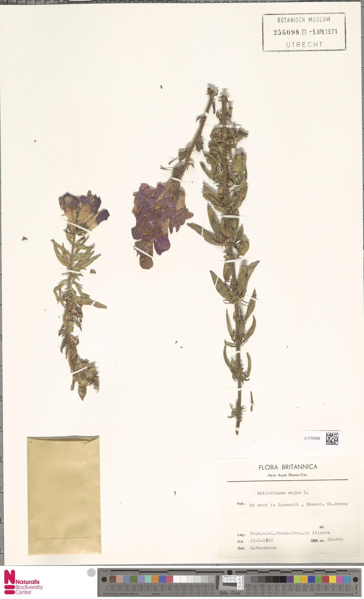U.1720596 | Antirrhinum majus L.
