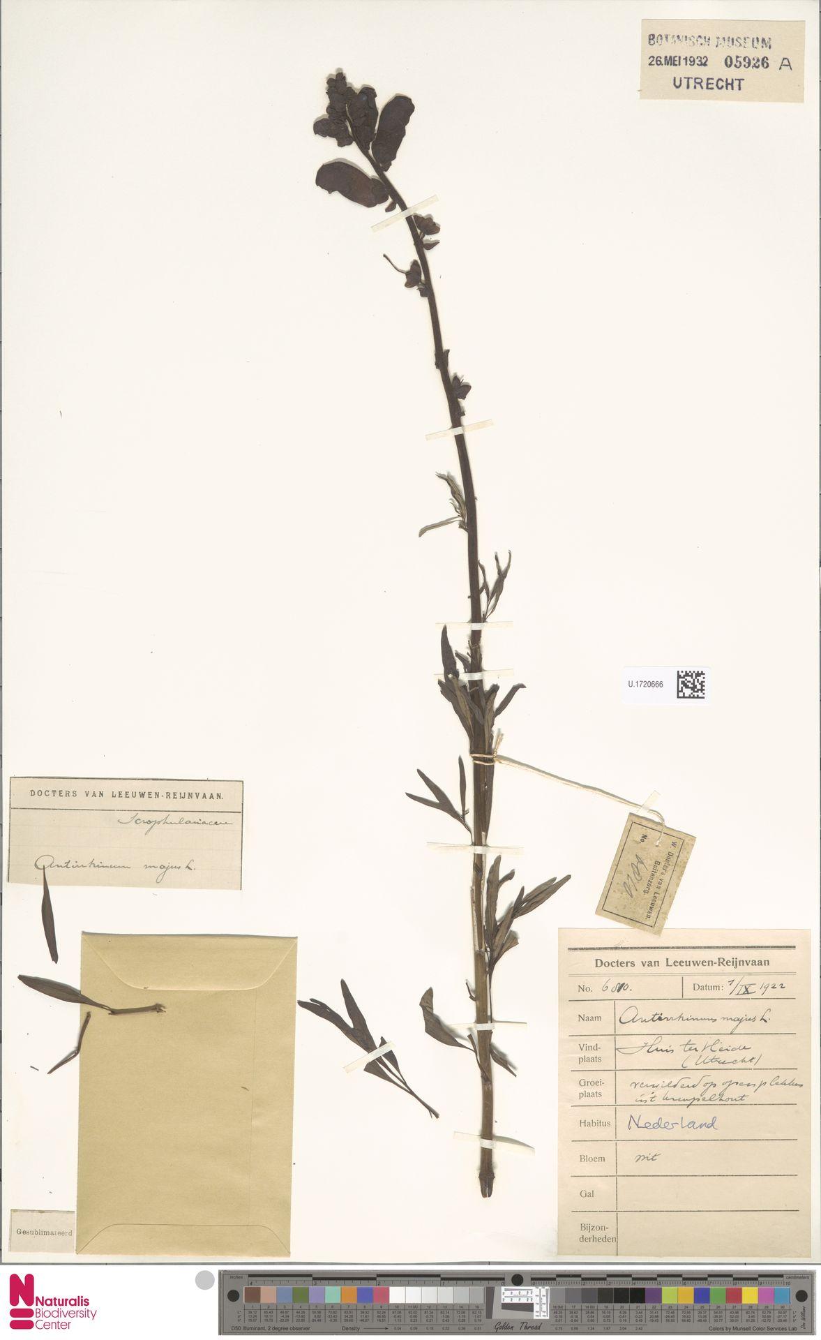 U.1720666 | Antirrhinum majus L.