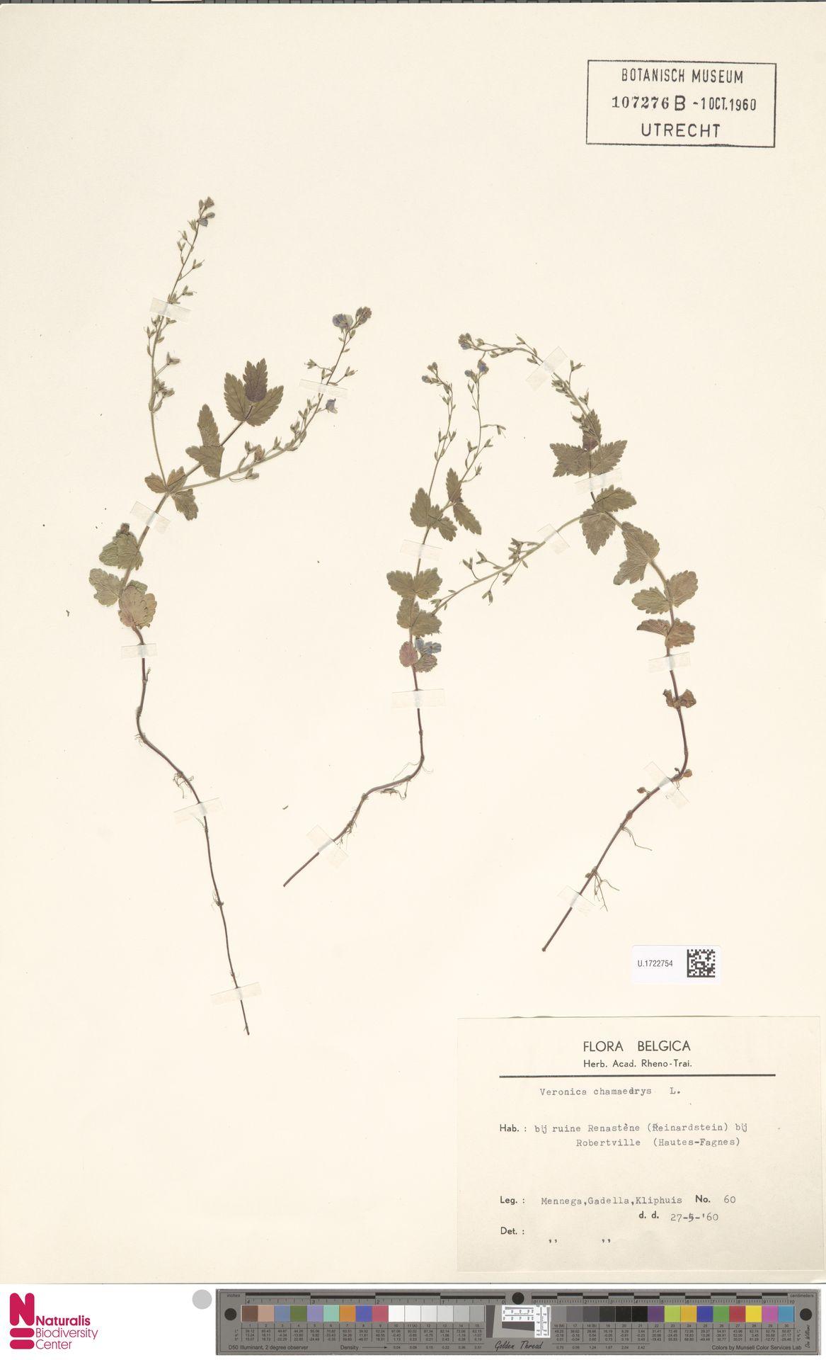 U.1722754 | Veronica chamaedrys L.